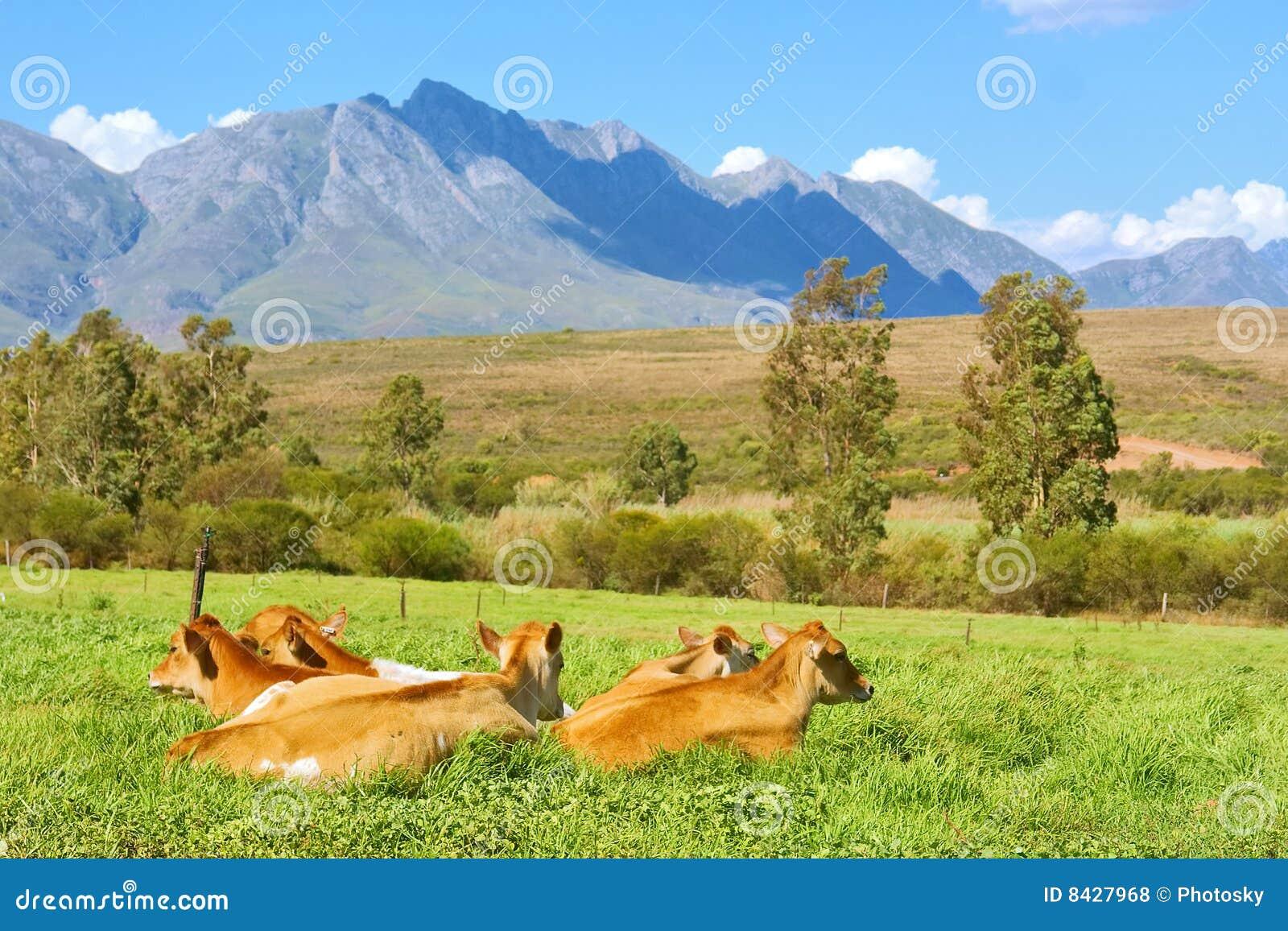 Manada de la vaca en hierba en montañas