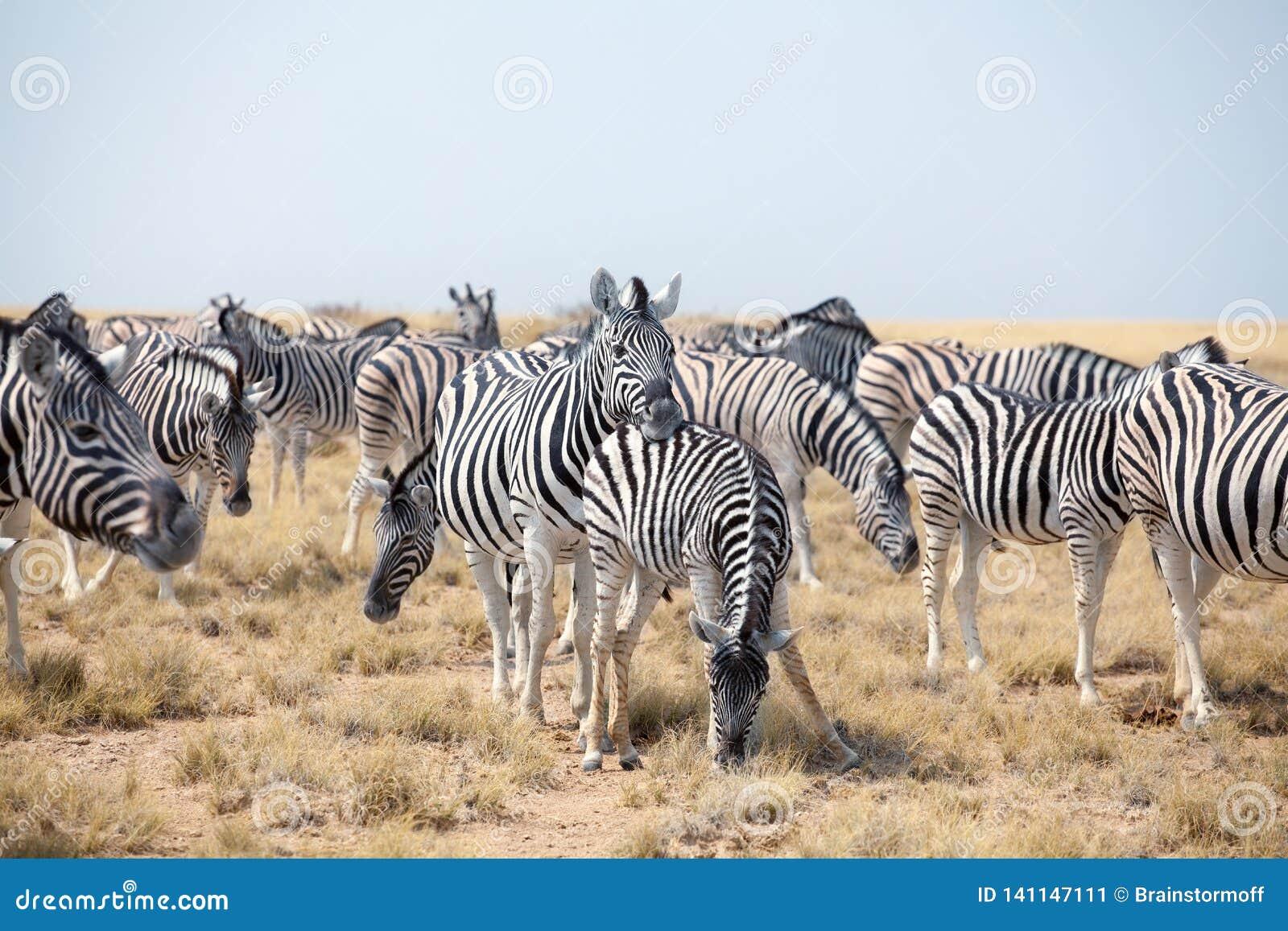 Manada de las cebras hermosas que pastan en sabana en cierre del fondo del cielo azul para arriba, safari en el parque nacional d