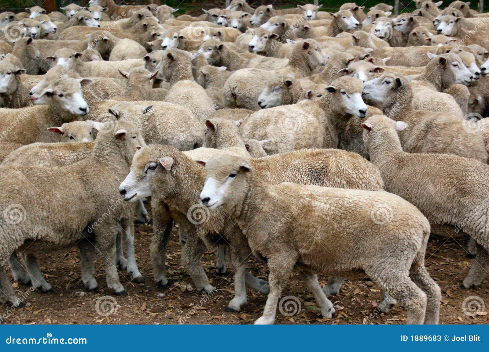 Manada de las ovejas