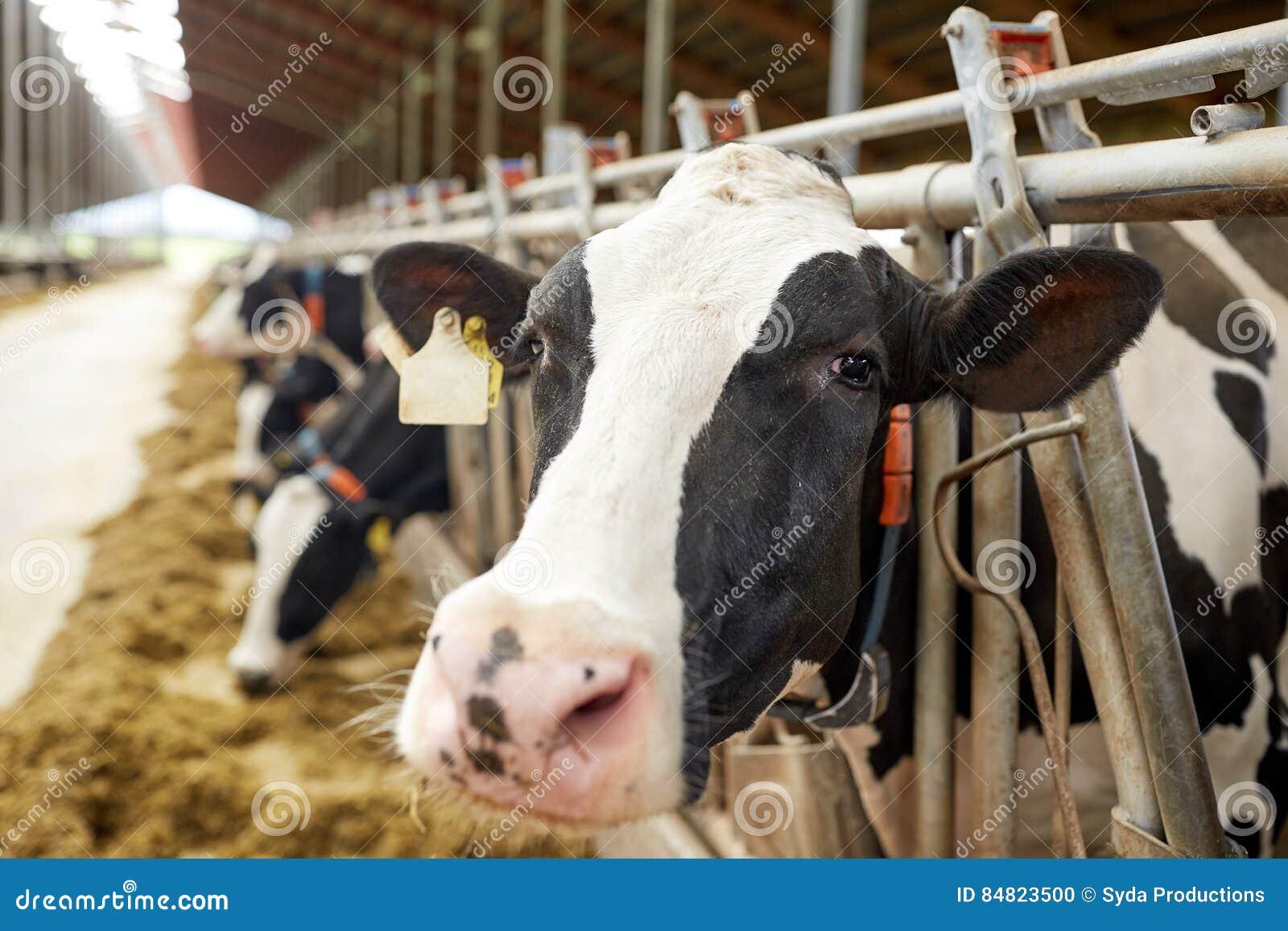 Manada de las vacas que comen el heno en establo en la granja lechera