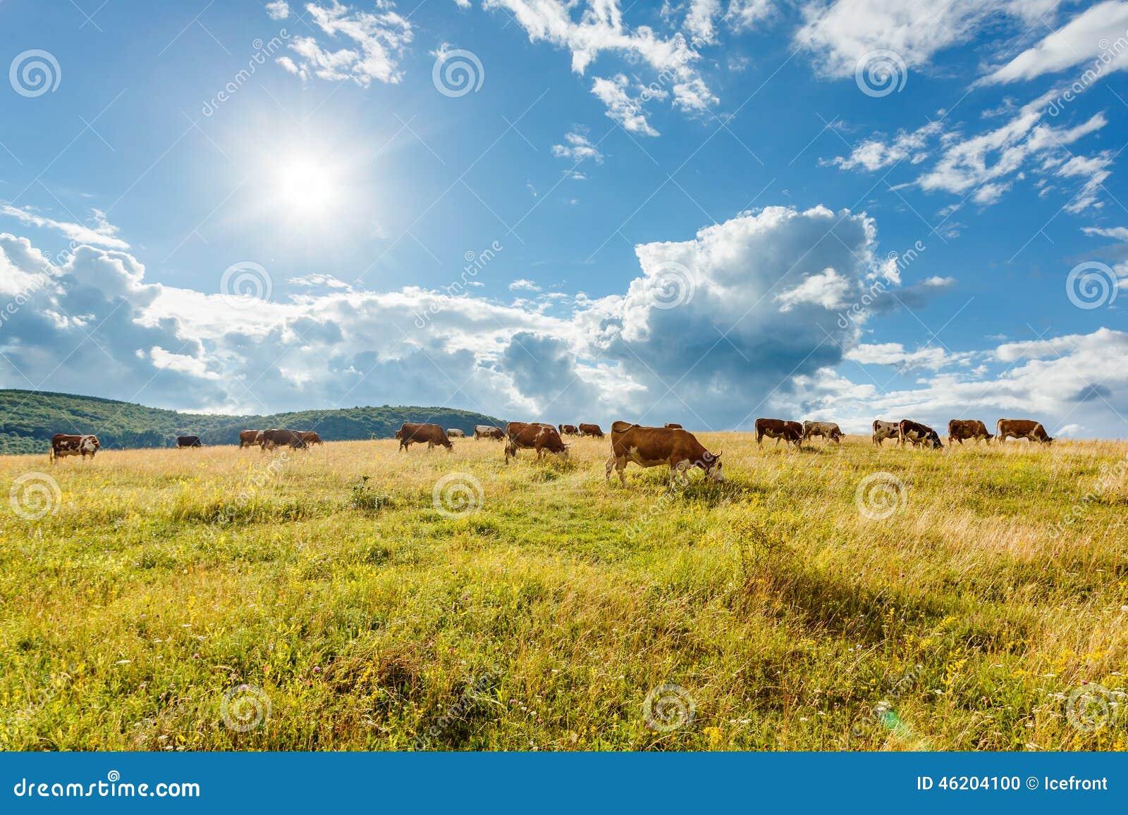 Manada de las vacas que pastan en campo soleado