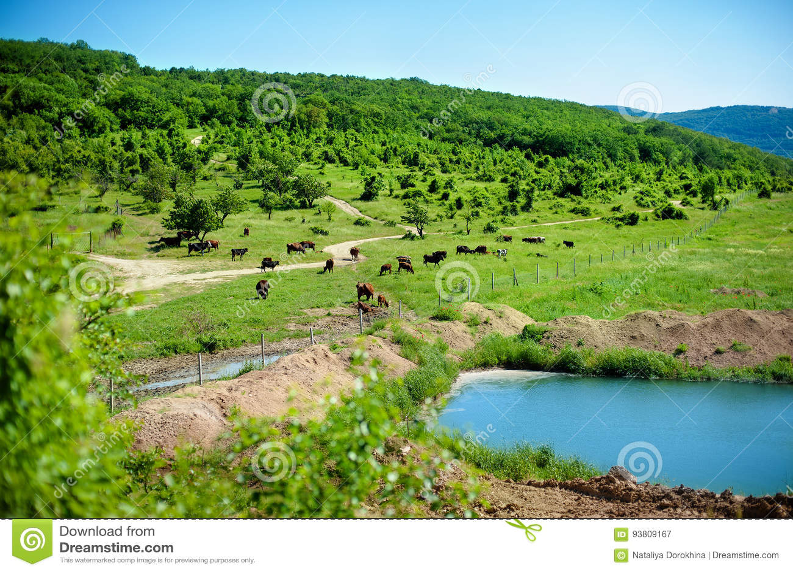 Manada de las vacas que pastan en un prado verde cerca del lago en las colinas en el día de verano soleado El paisaje pintoresco