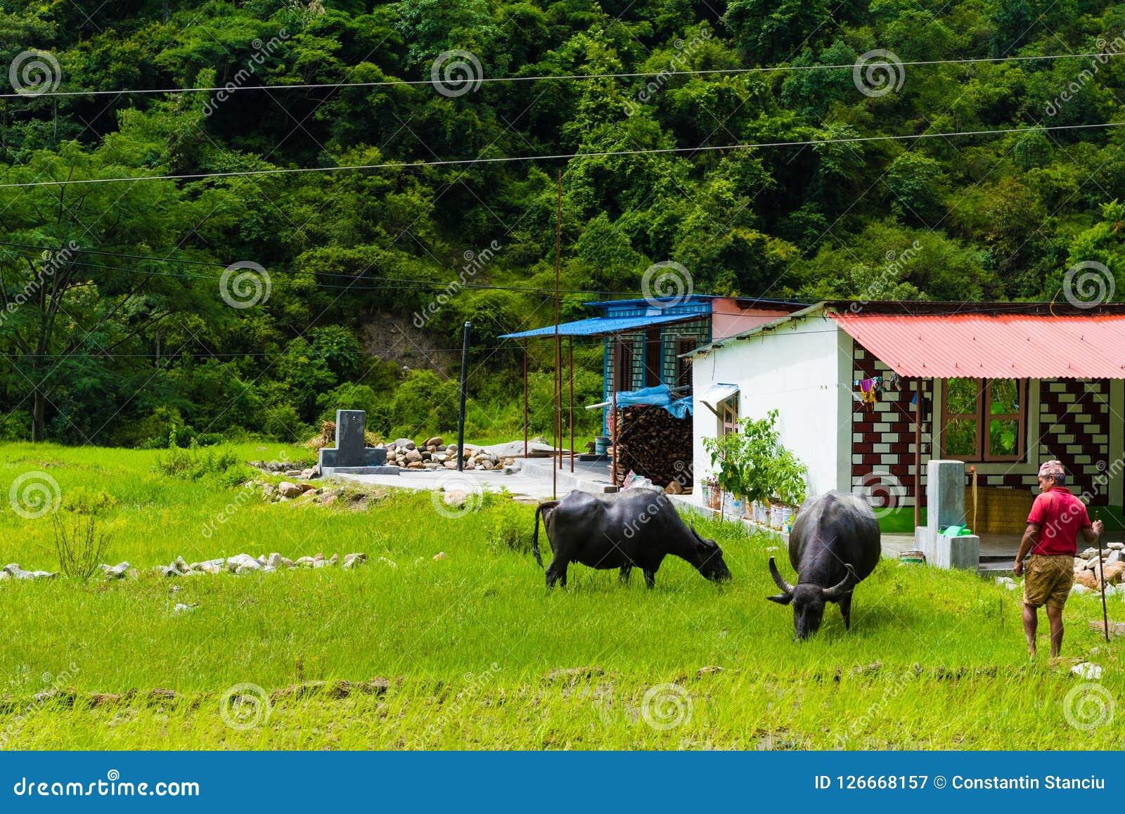 Manada de los búfalos de agua en el pueblo rural, área de la protección de Annapurna, Nepal