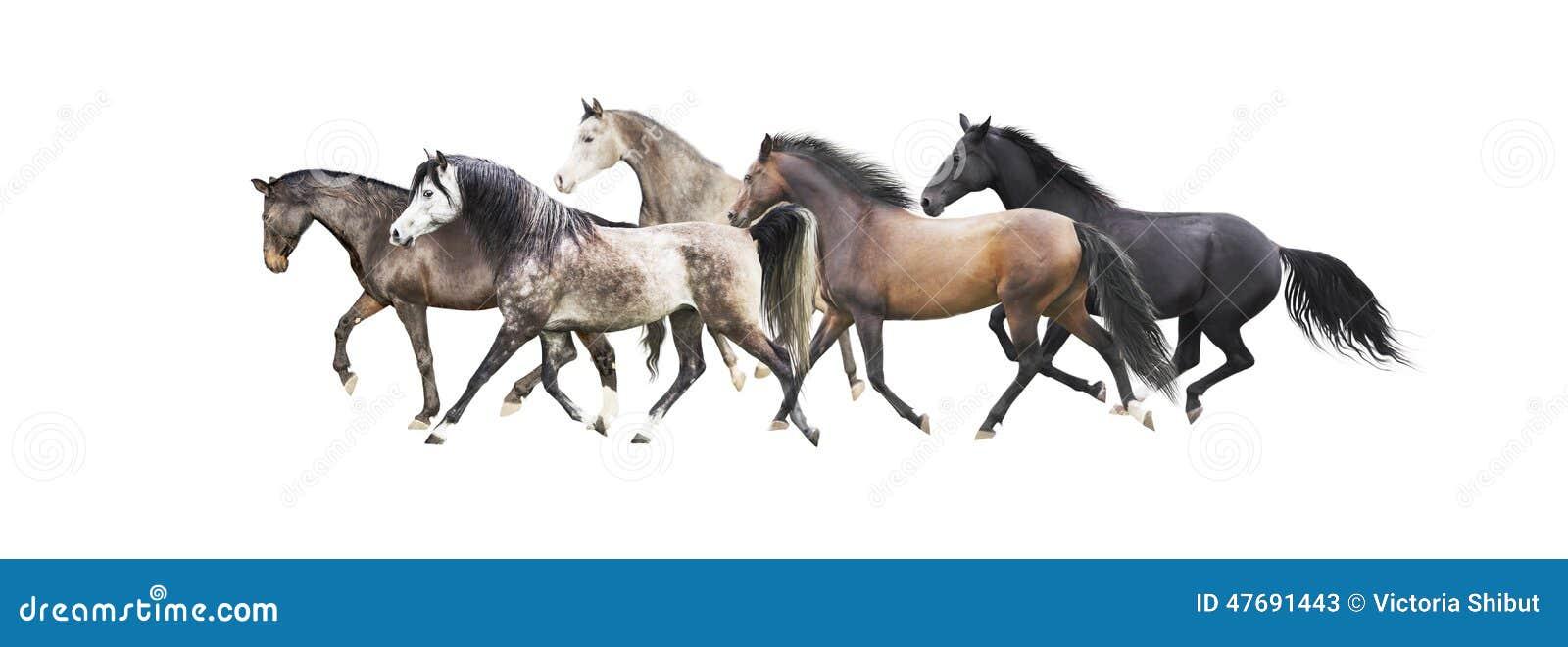 Manada de los caballos que corren, aislada en blanco