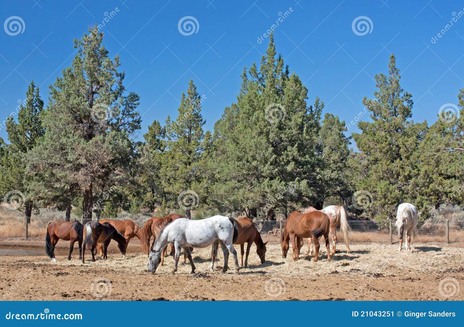 Manada de los caballos que pastan cerca de enebro