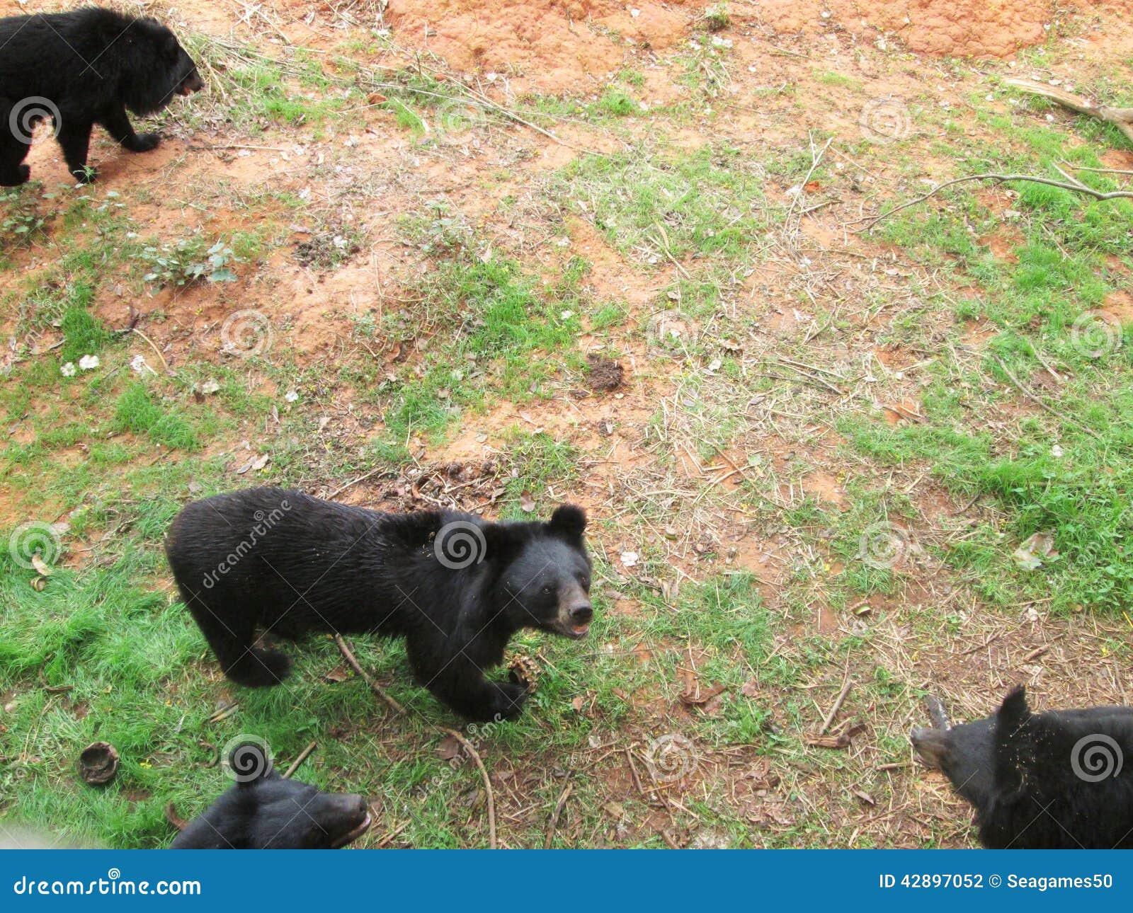 Manada de los osos en la naturaleza