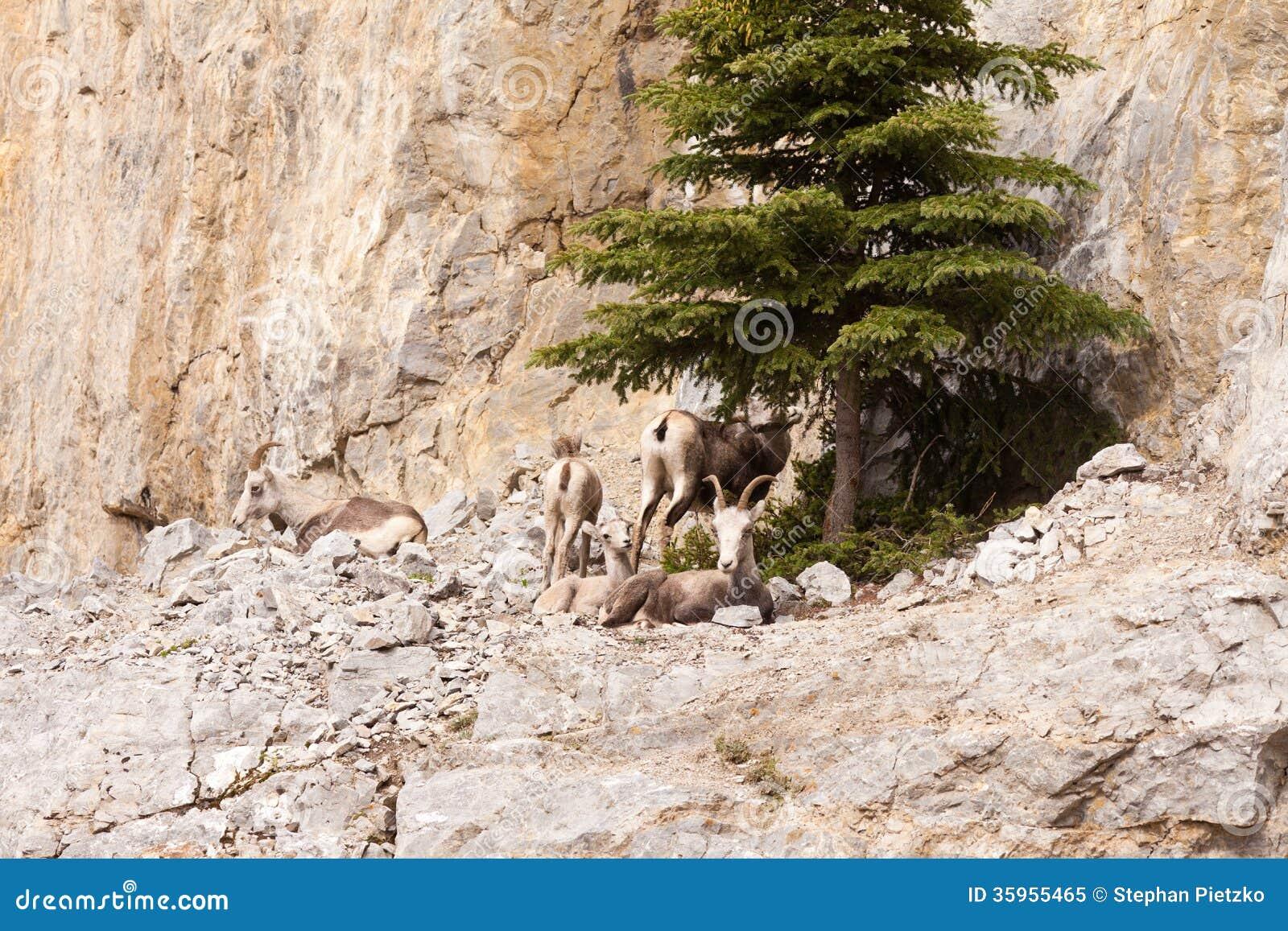 Manada de reclinación de las ovejas del Ovis del stonei de piedra del dalli