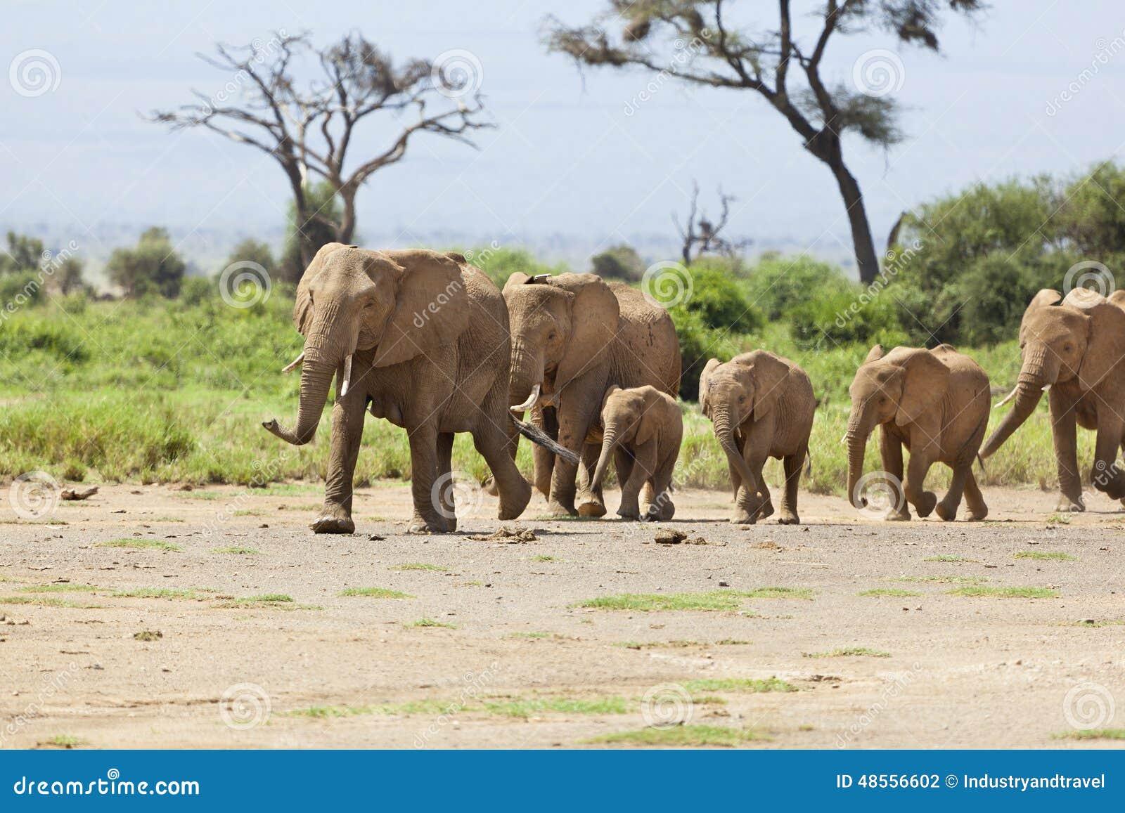 Manada del elefante en Kenia