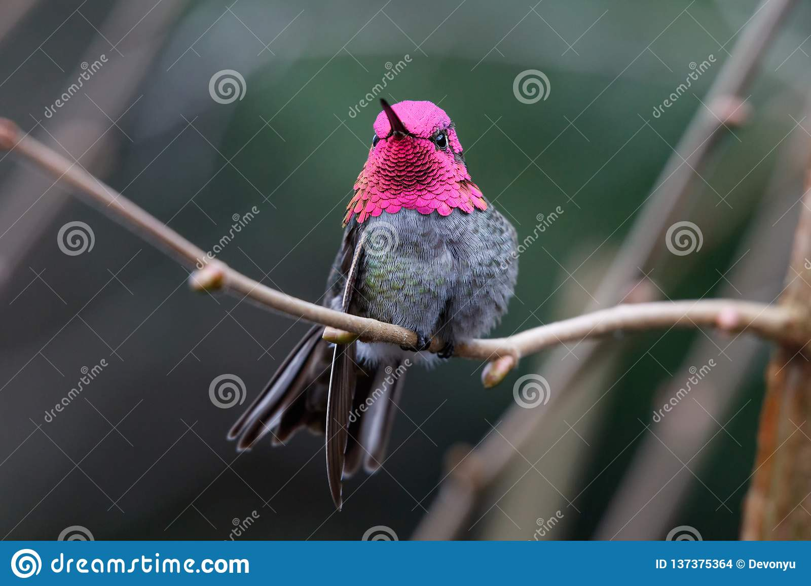 ManAnnas kolibri