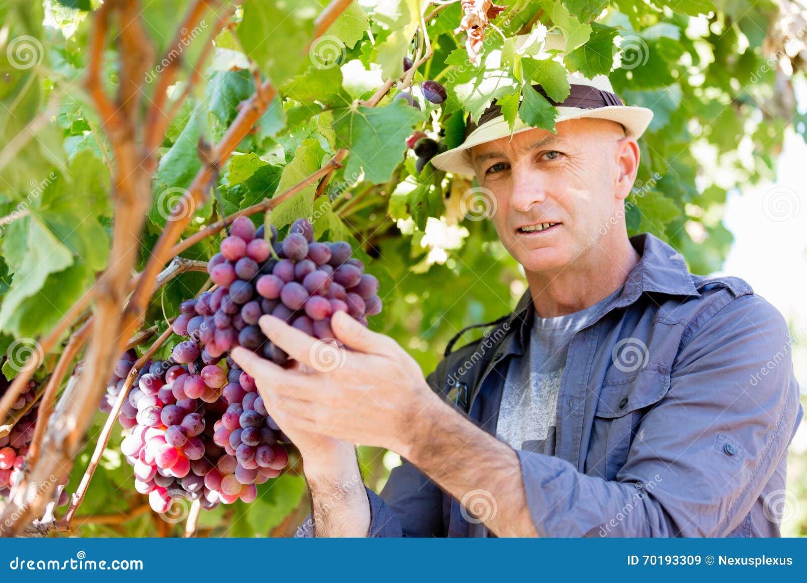 Mananseende i vingård