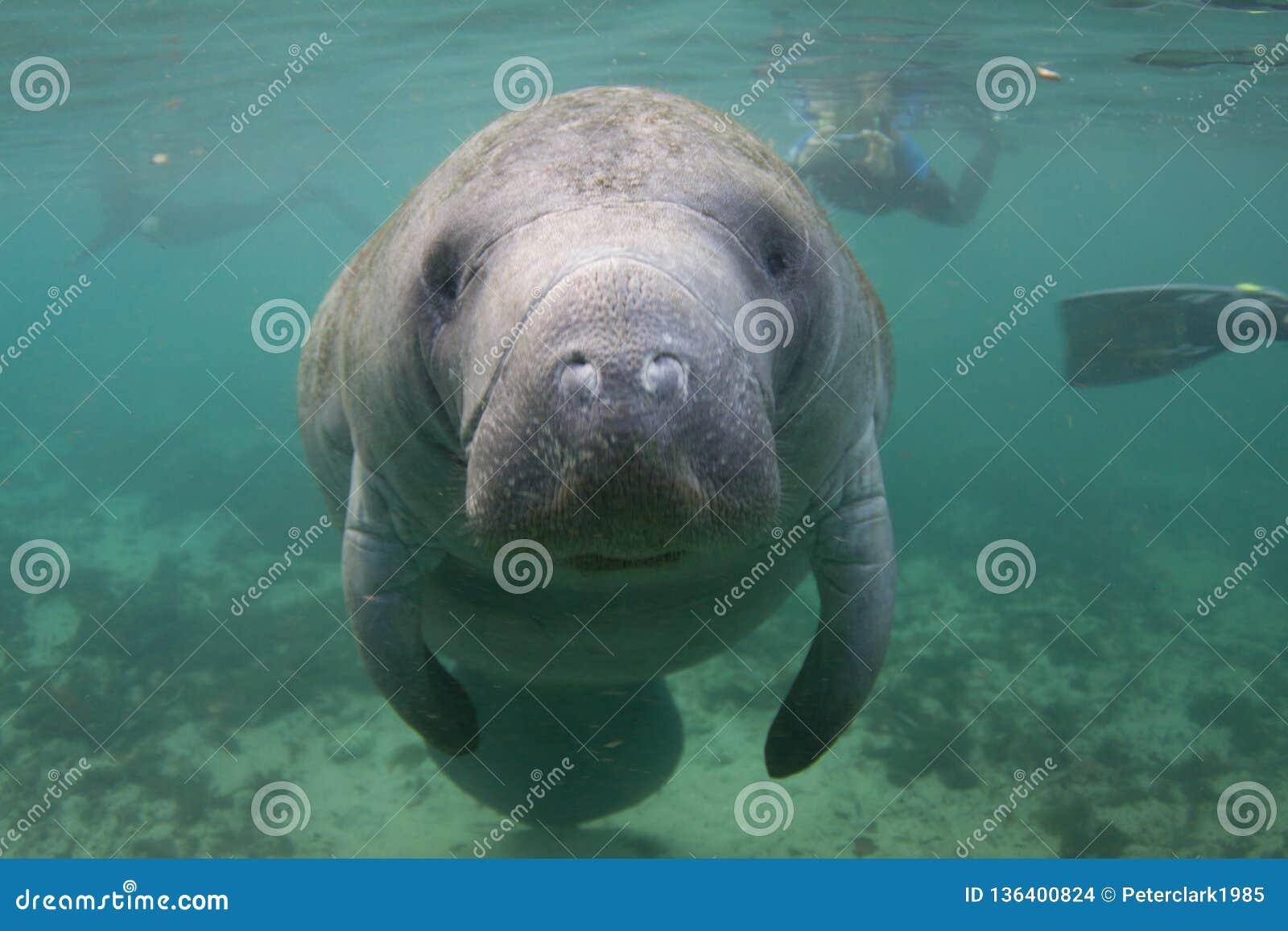 Manatee di Florida subacqueo con Snorkelers