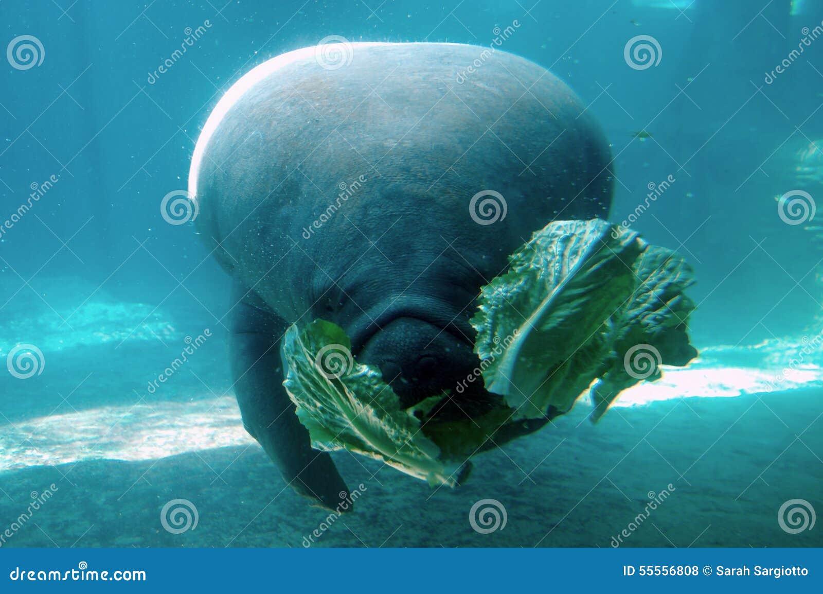 manatee eating lettuce stock photo image of eating marinelife