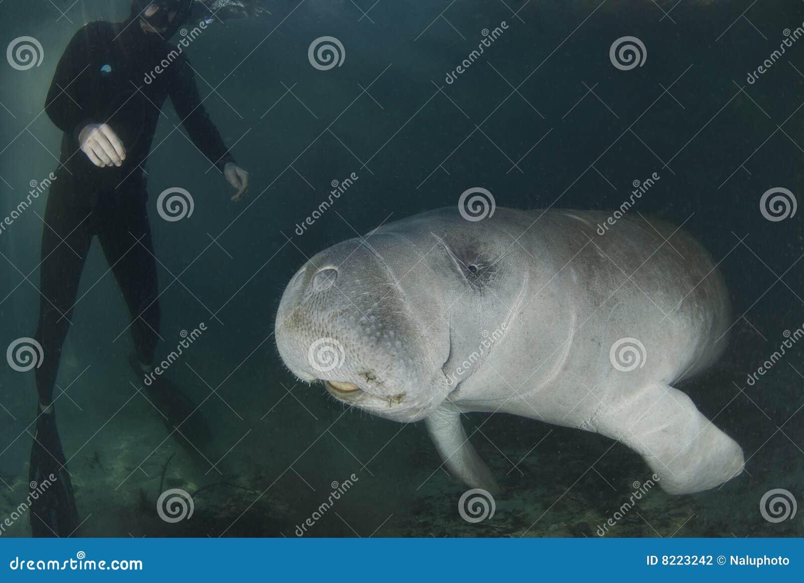 Manatee ed operatore subacqueo