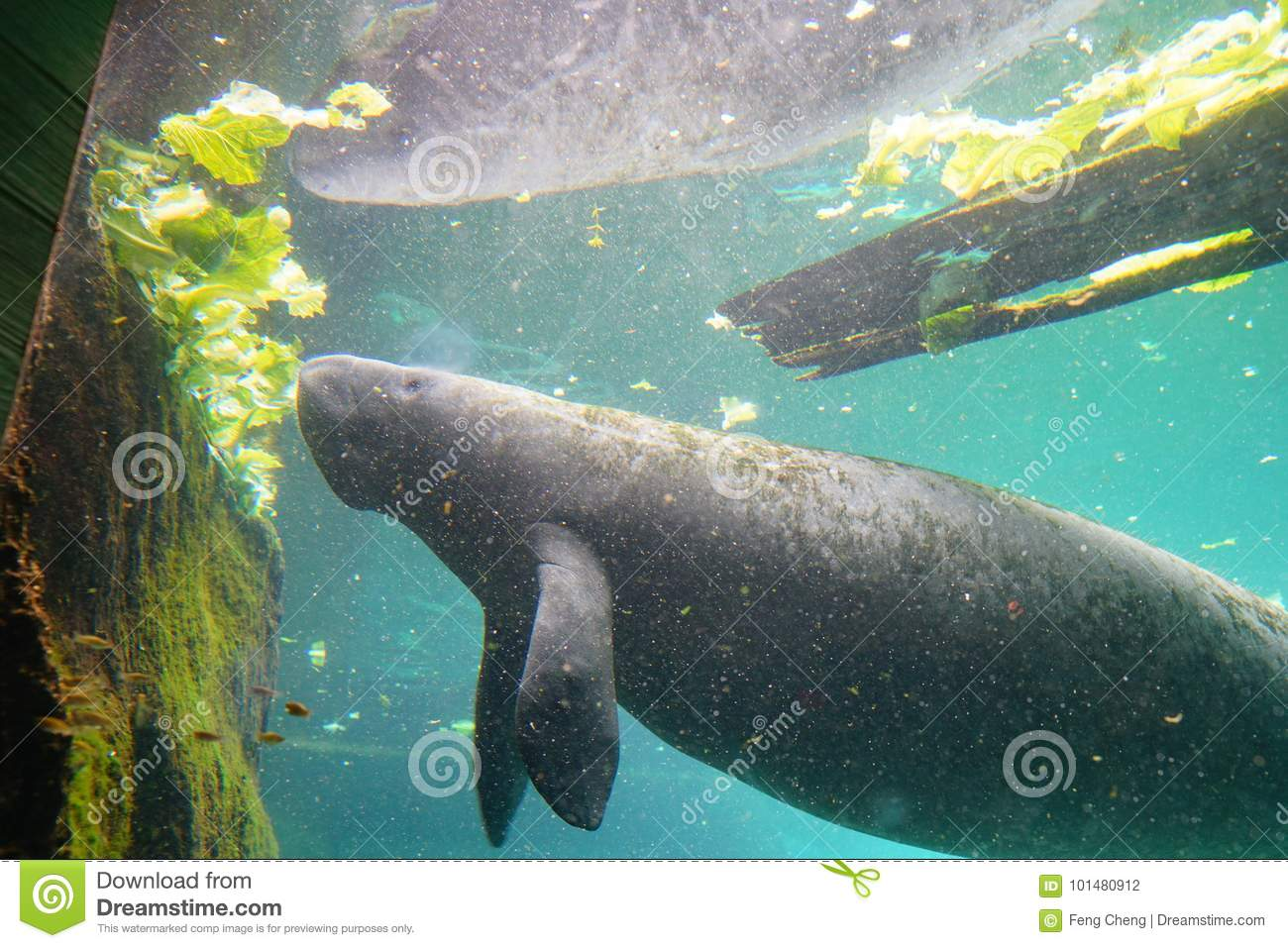 manatee is eating lettuce stock photo image of known 101480912