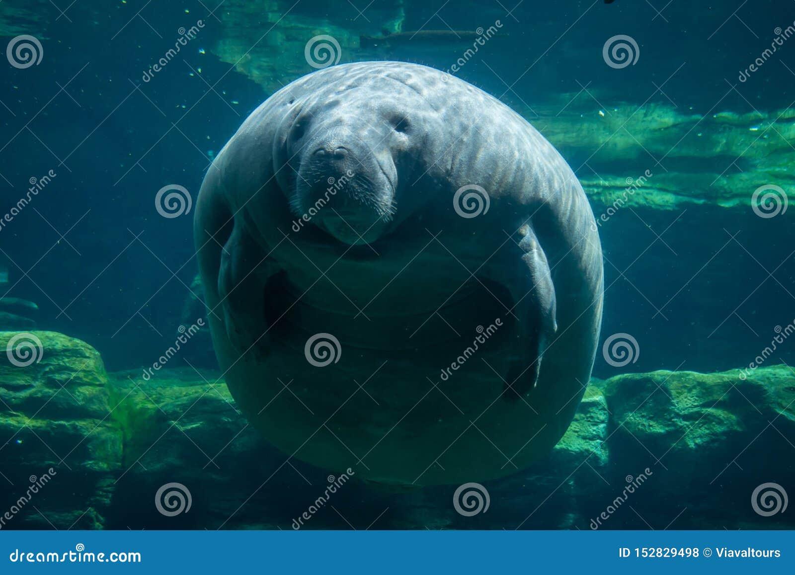 Manatis und Fische Unterwasser bei Seaworld