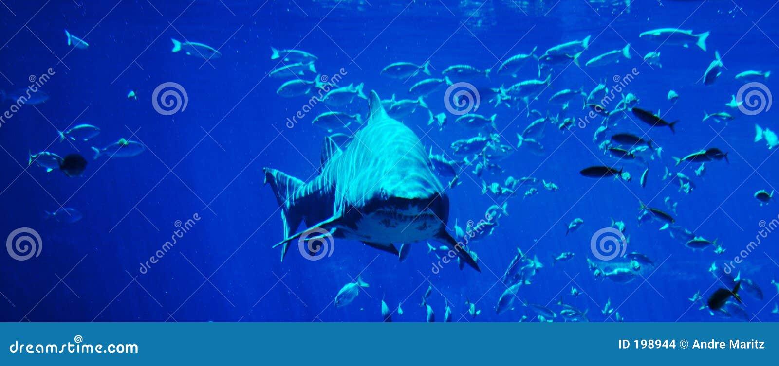 Mancha do tubarão