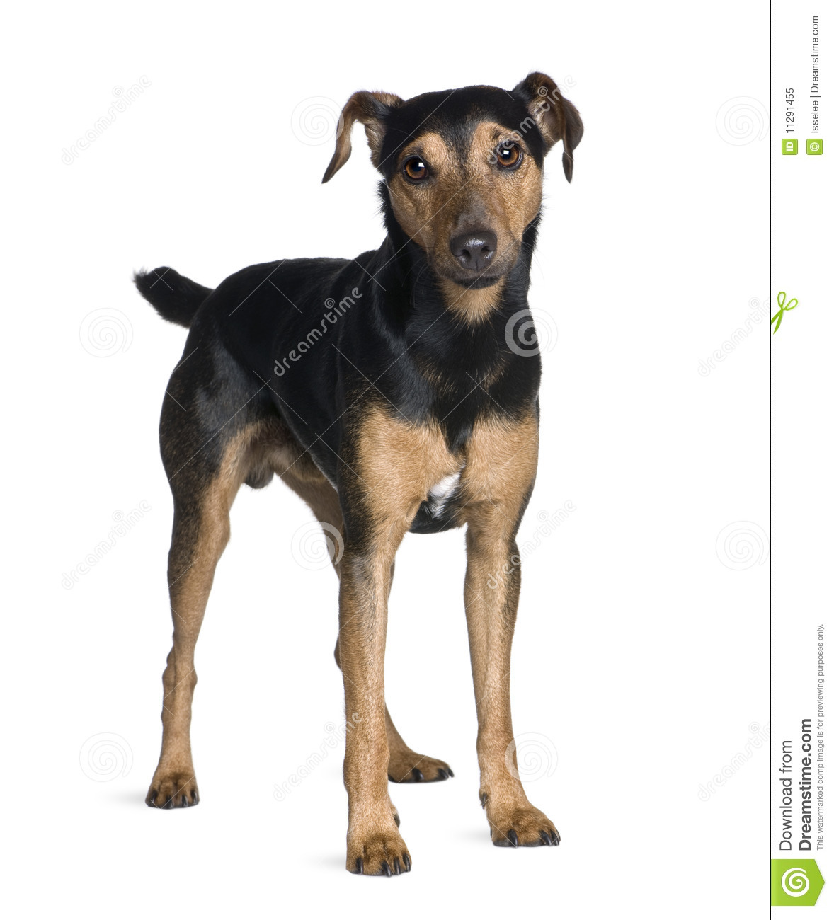 Manchester terrier 3 years old standing in front of white background