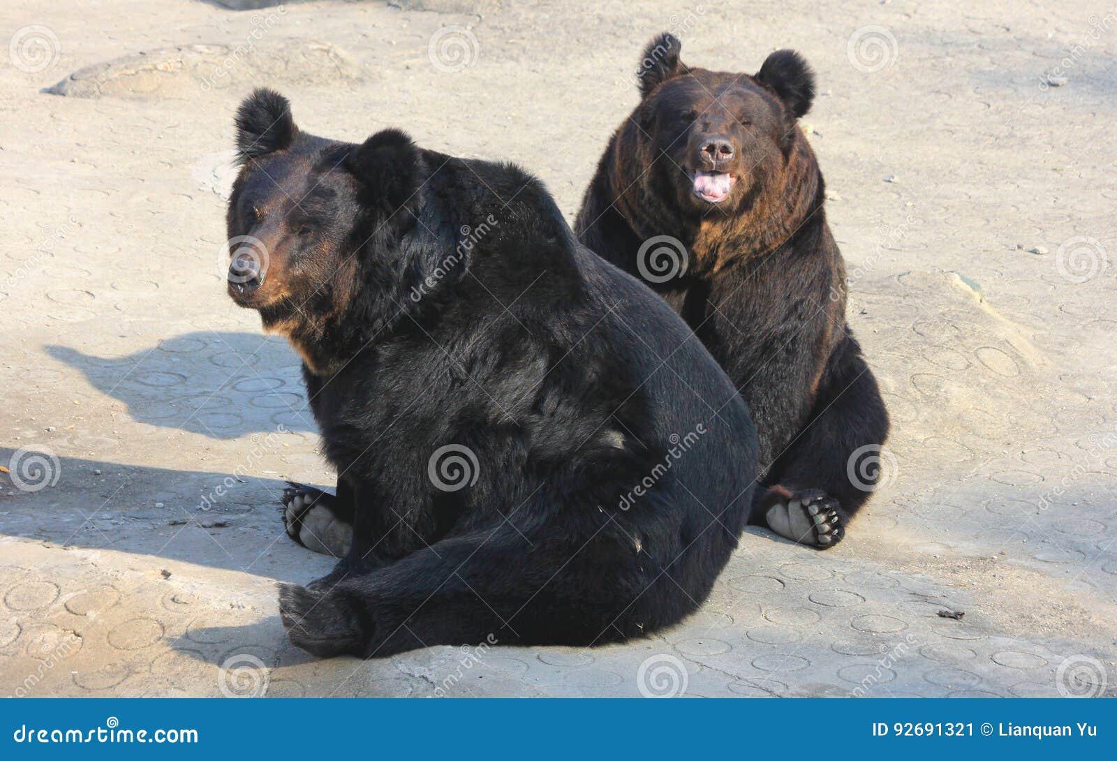 Hairy black bears