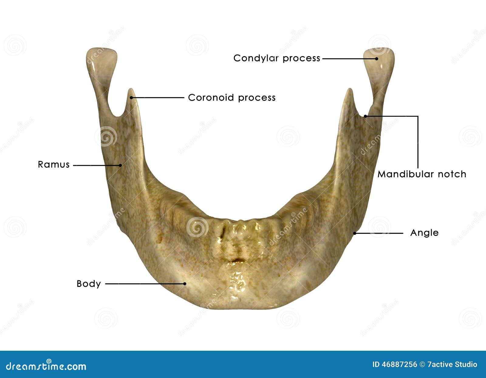 Anatomía Del Esqueleto Y De Los Dientes Del Maxilar Inferior Stock ...