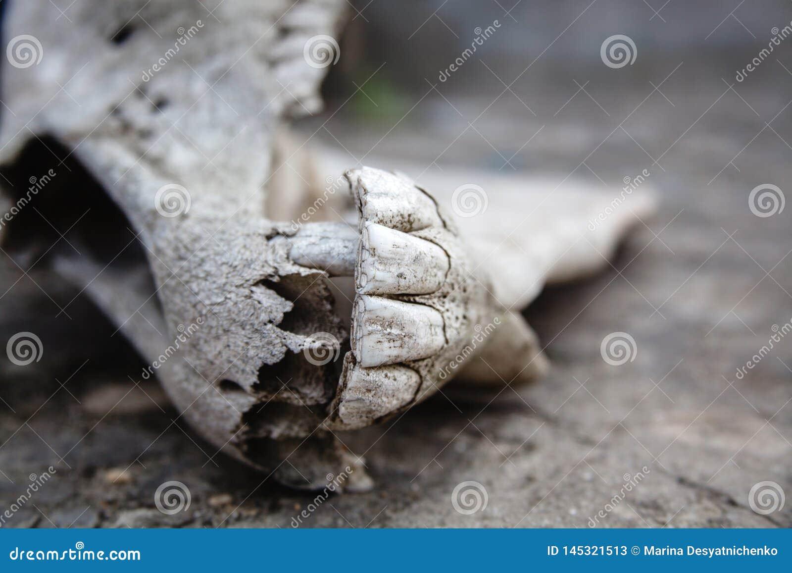 Mand?bulas con los dientes en el cr?neo del caballo en una tierra de piedra agrietada