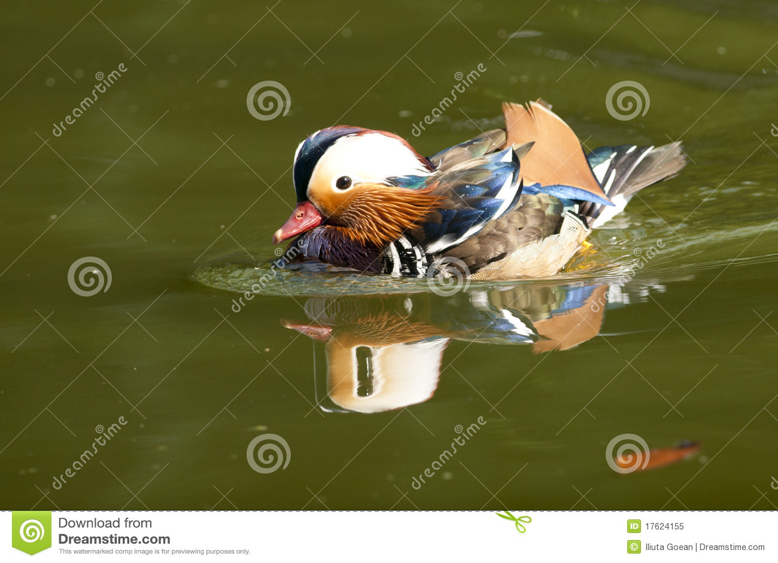 Mandarin de Mannetjeseend van de Eend