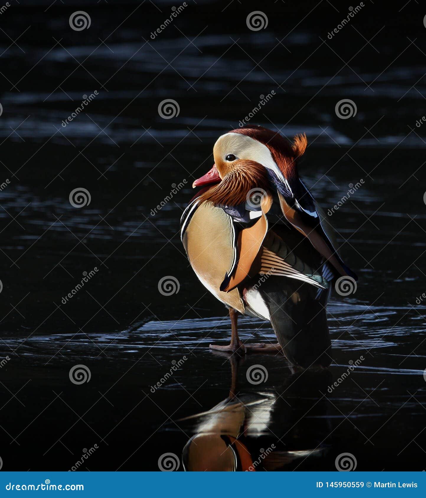 Mandarin Duck On Ice