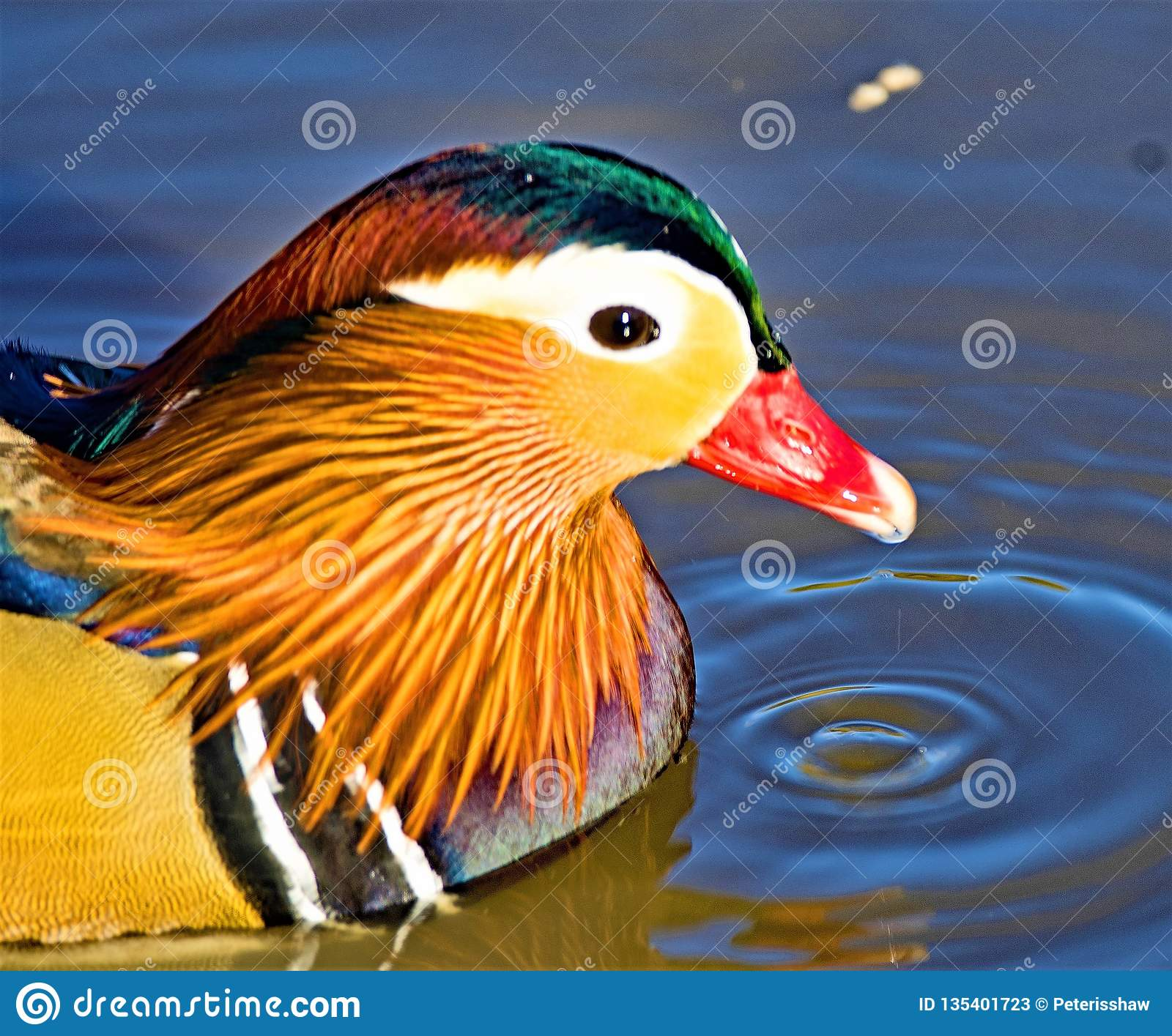 Mandarin duck portrait, in North West Wetlands.
