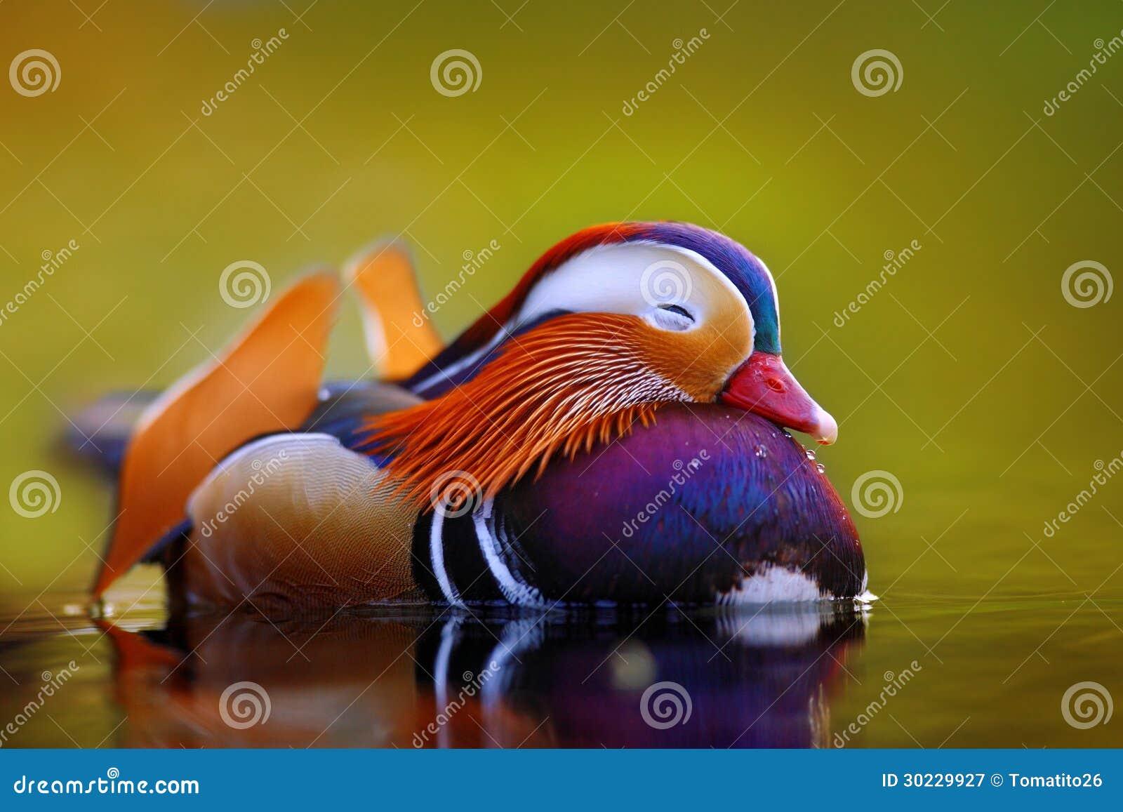 Mandarin eend het drijven en rust op het water