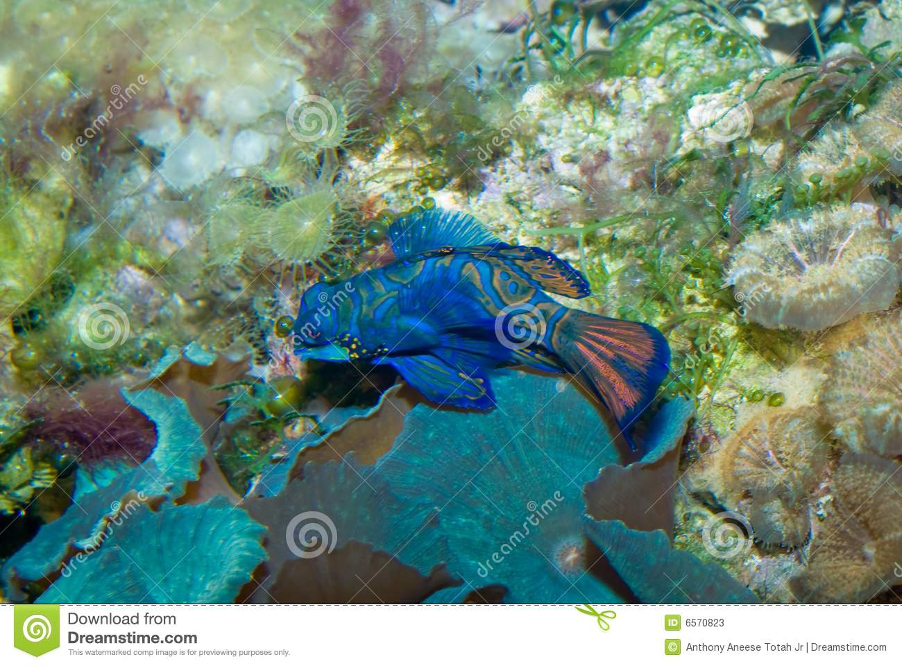 Download Mandarin Fish stock image. Image of brackish, marine, mandarin - 6570823