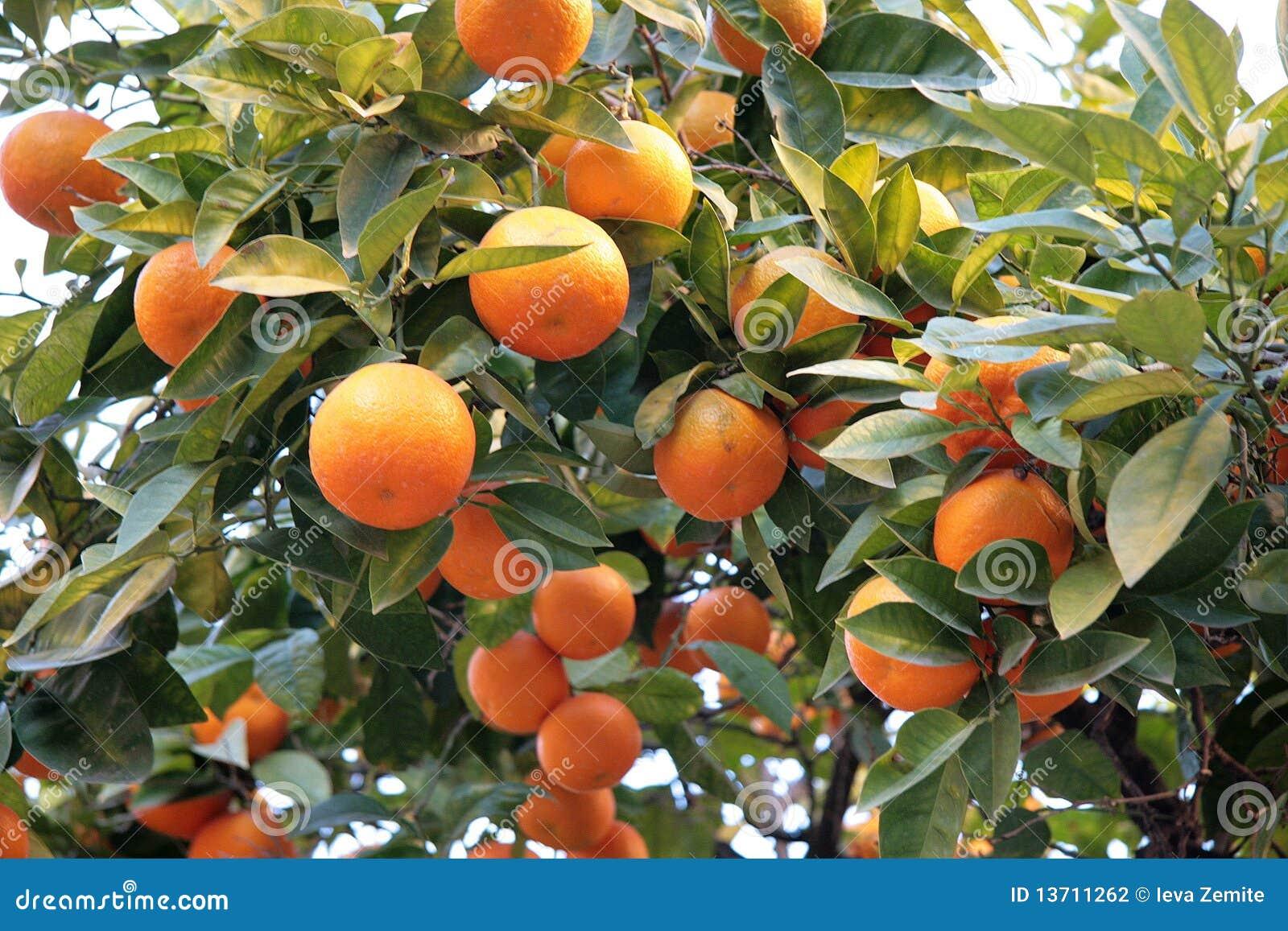 Mandarin Orange Tree Stock Photography Image 13711262