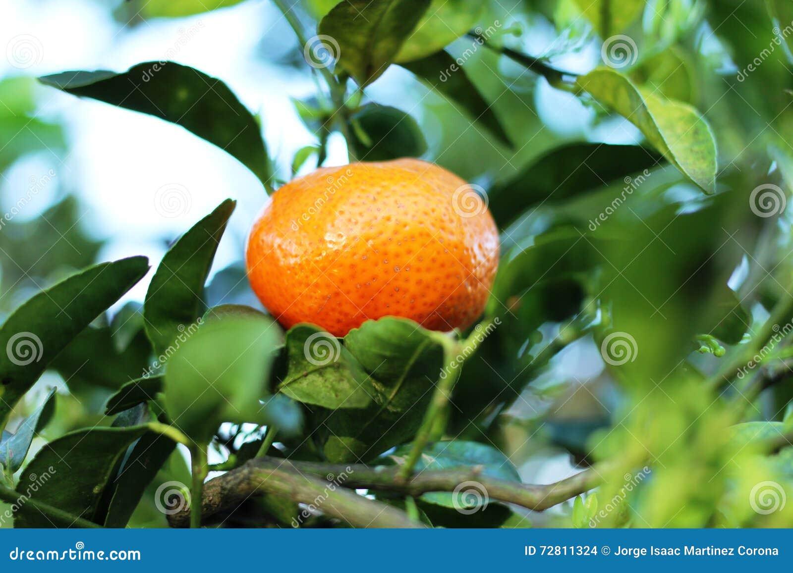 Mandarina en el árbol en Costa Rica