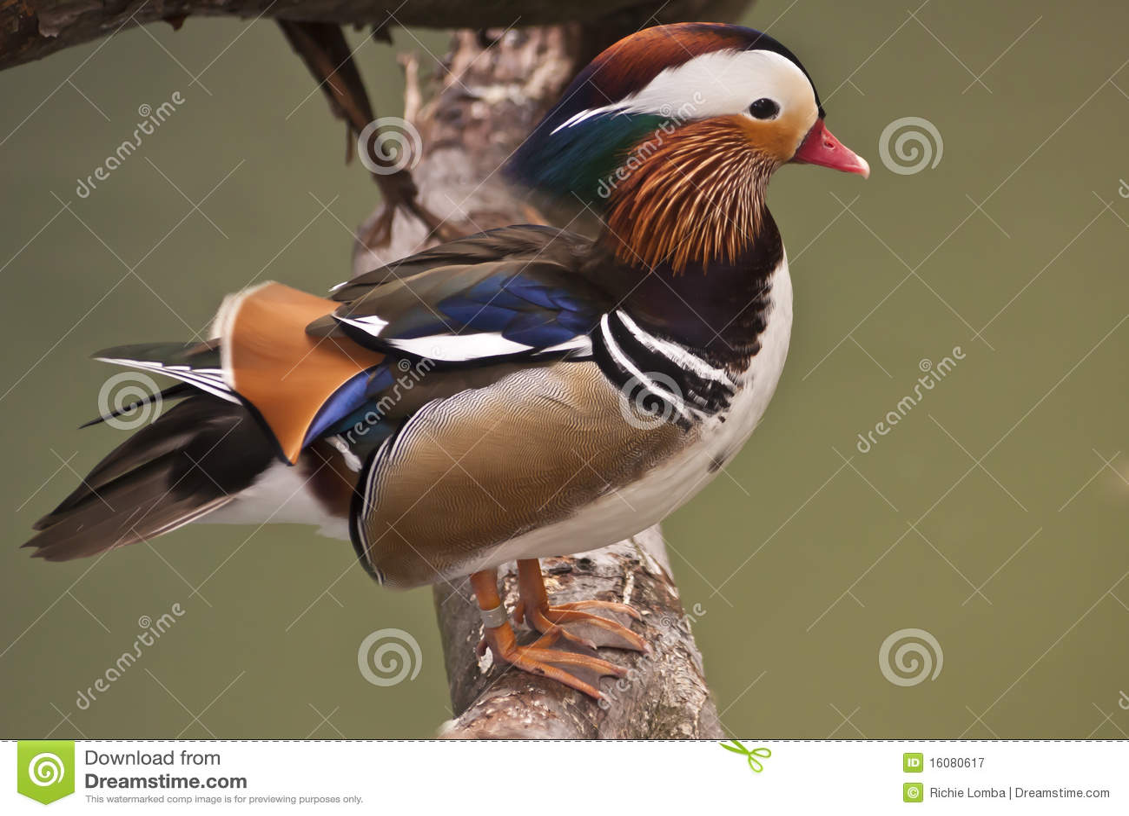 Mandarine-Ente