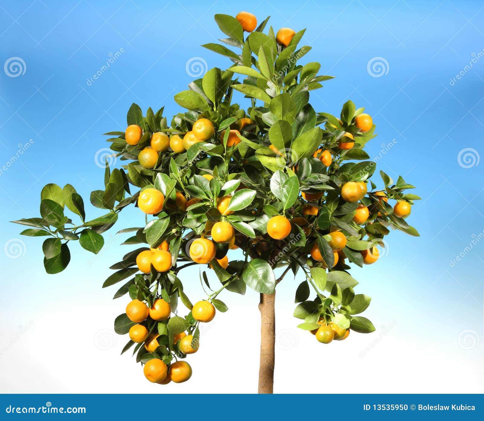 Mandarines mûres