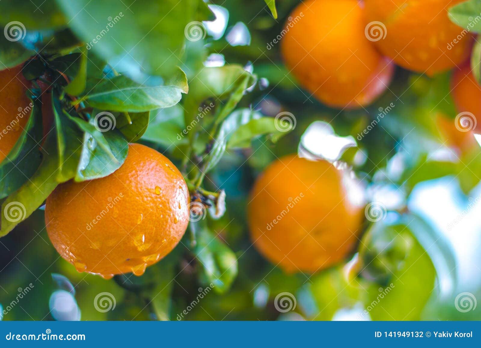 Mandarines mûres sur un branchement d arbre Ciel bleu sur le fond Fond de citron