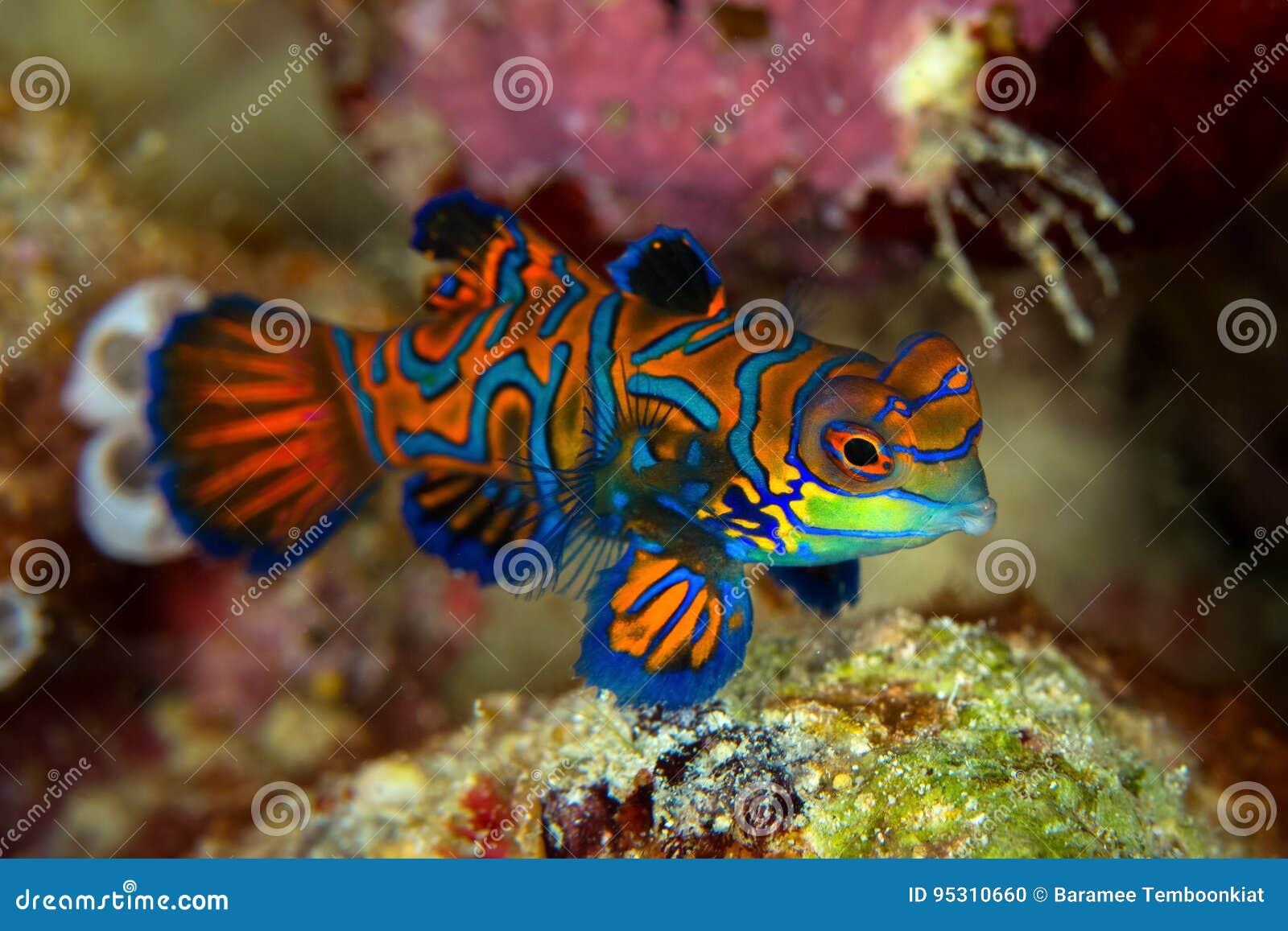 Mandarinfish或普通话dragonet Synchiropus splendidus是