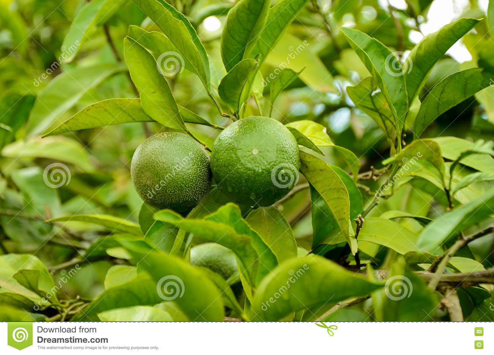 Mandarino verde non maturo, mandarino sulla pianta