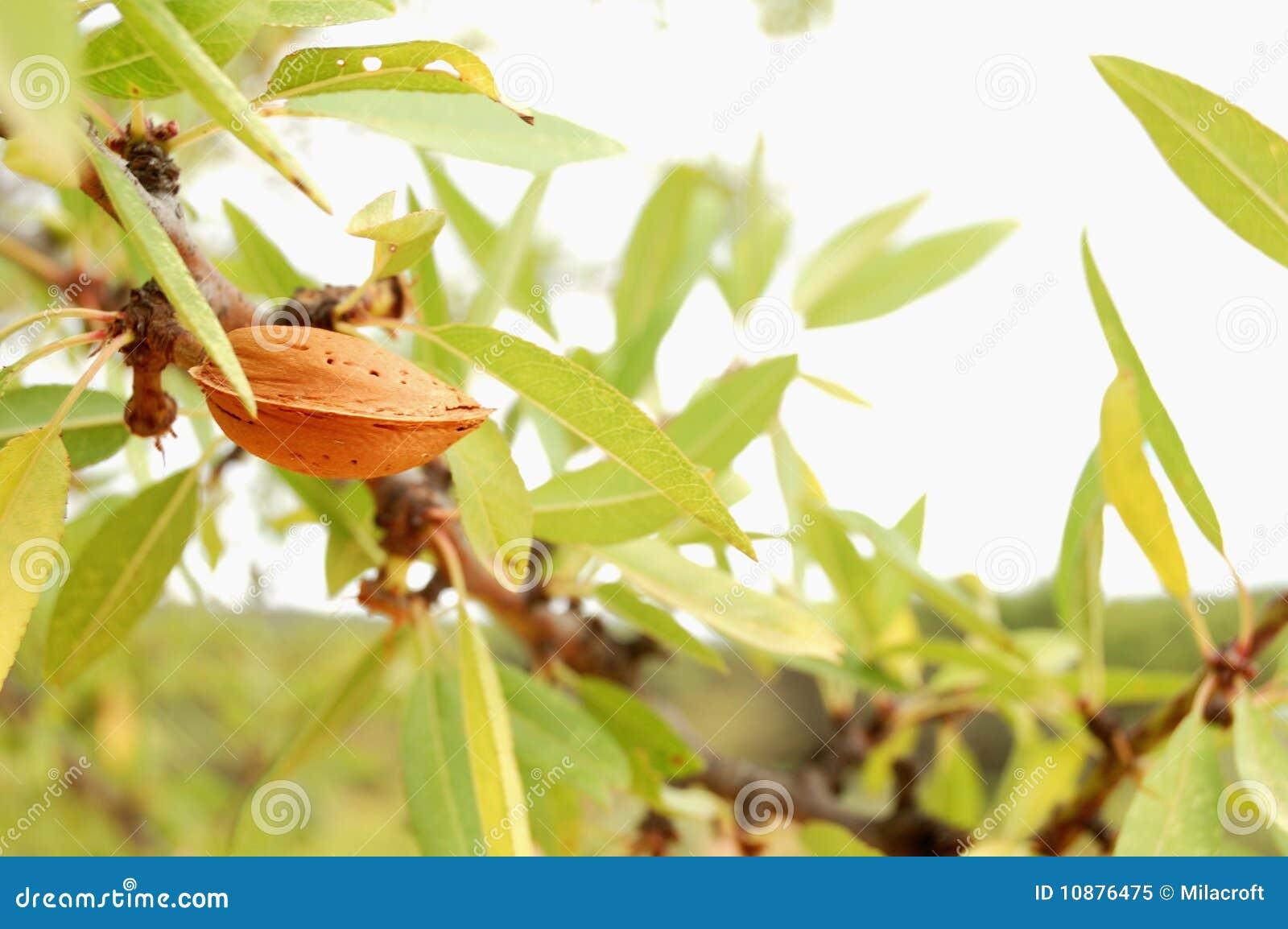 Mandelbaum mit reifen Früchten