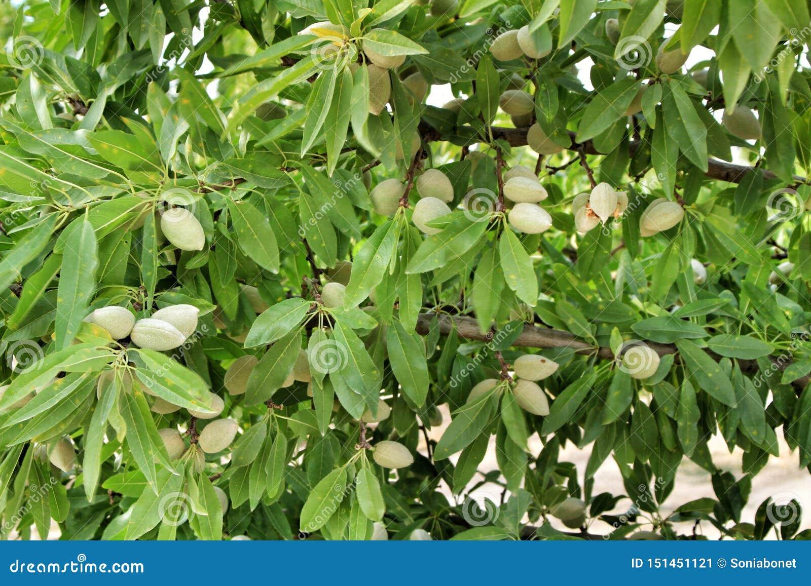 Mandeln auf dem Baum nachdem dem Blühen