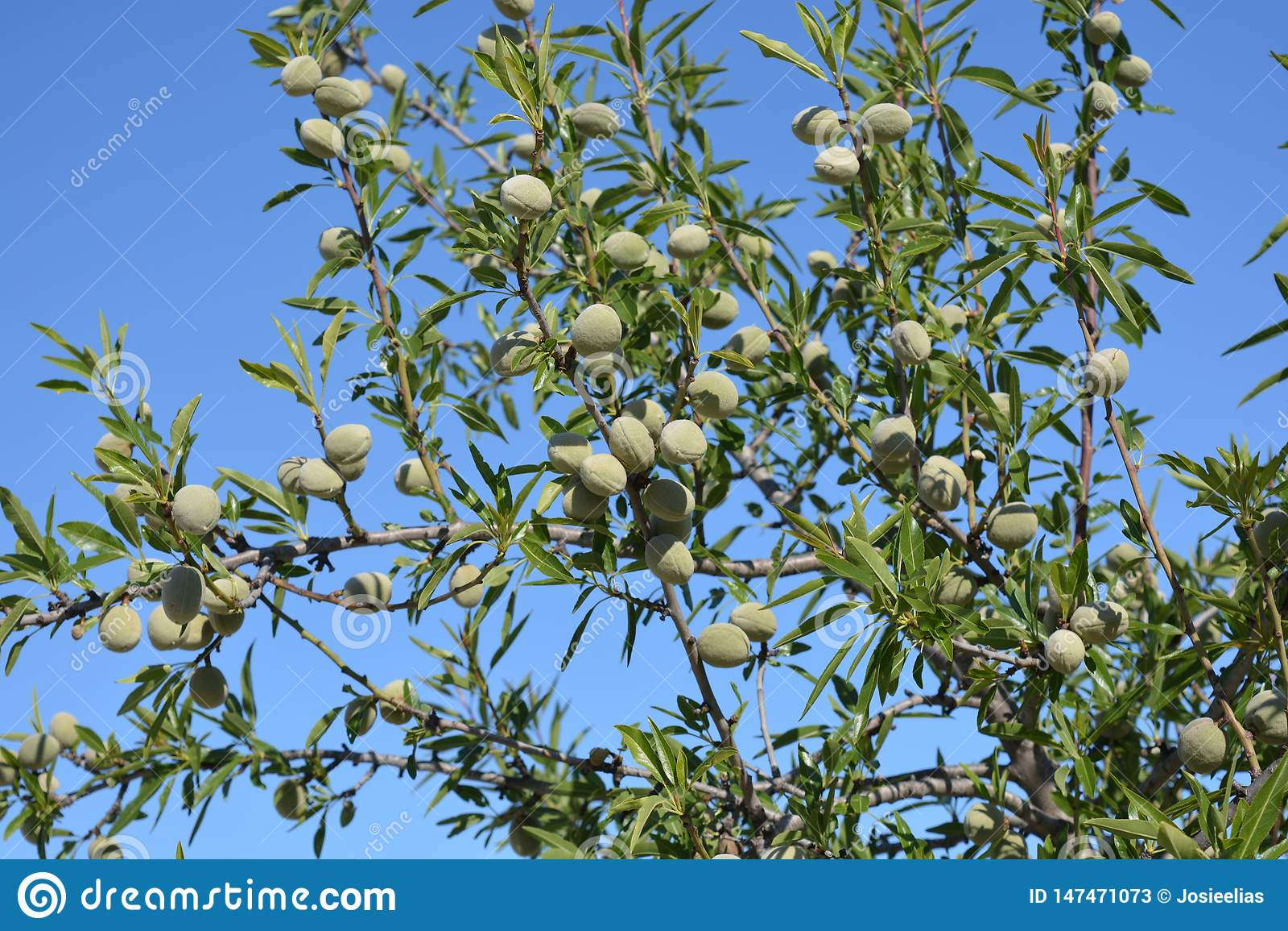 Mandeln, die im Frühjahr auf Baum wachsen