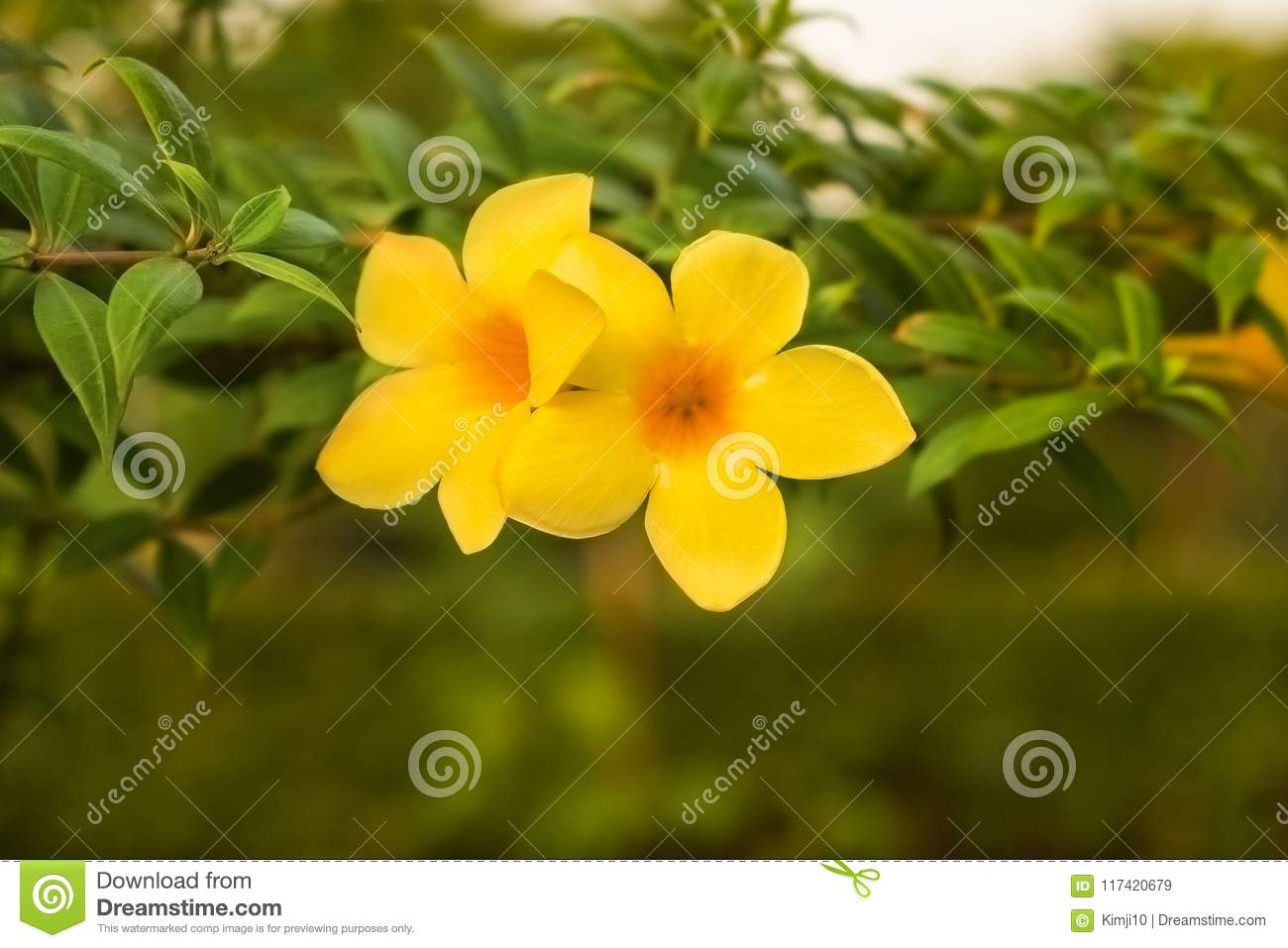 Mandevilla Flower Yellow Stock Image Image Of Organic 117420679