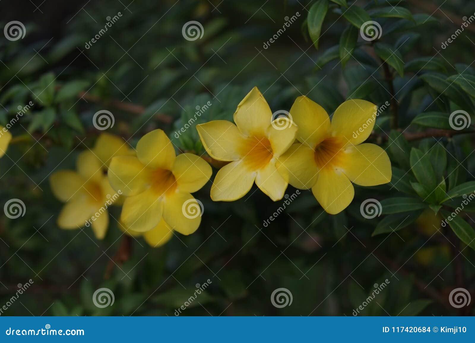 Mandevilla Flower Yellow Stock Photo Image Of Flower 117420684