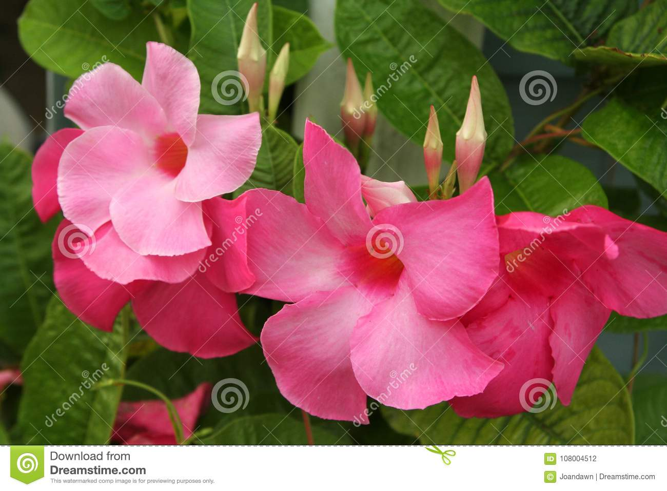 Hot Pink Mandevilla Blossoms And Bud Bloom On Strong Green Leafed