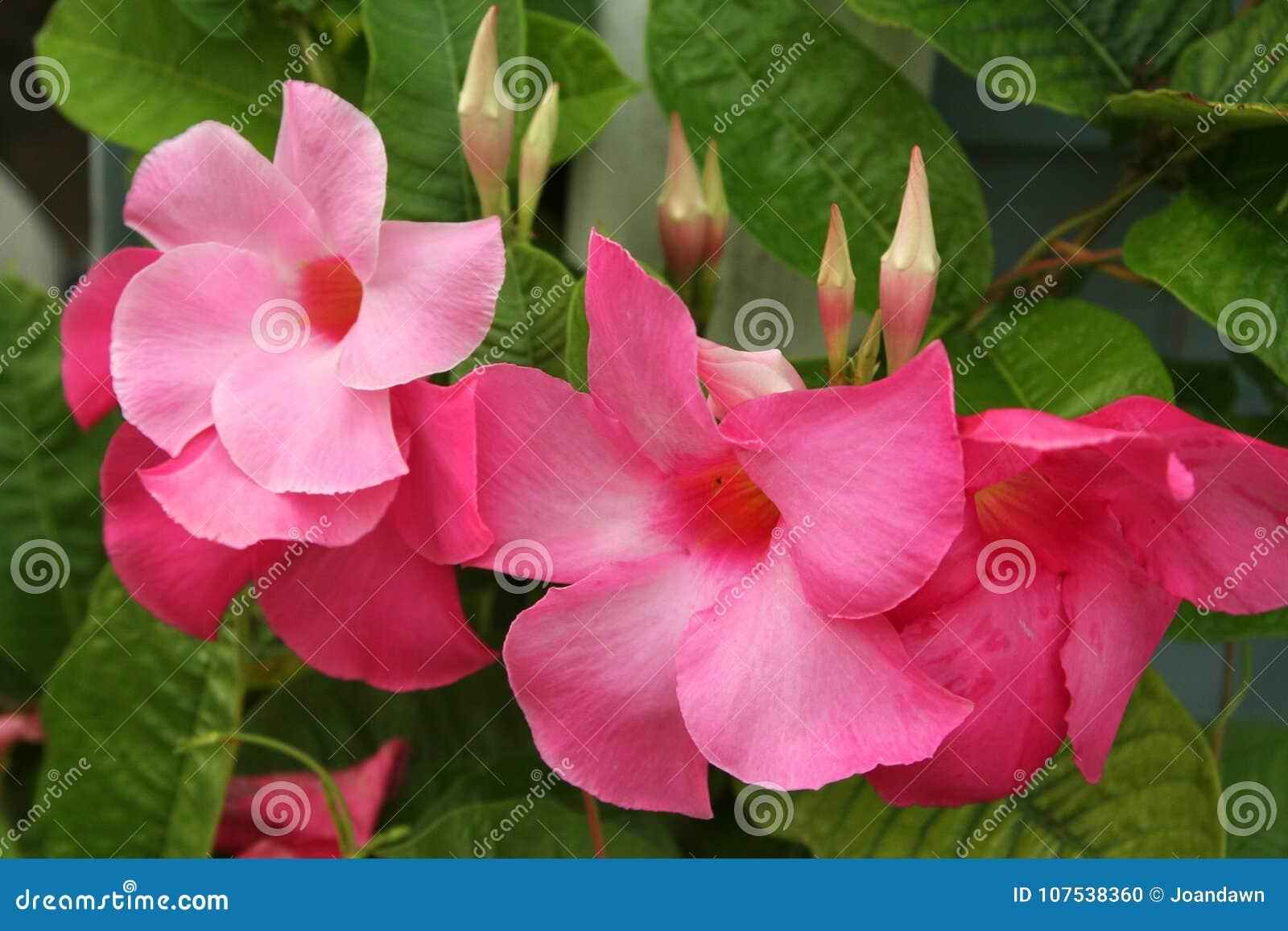 Mandevillablüten In Den Schatten Von Vibrierendem Rosa Und Von Ihren