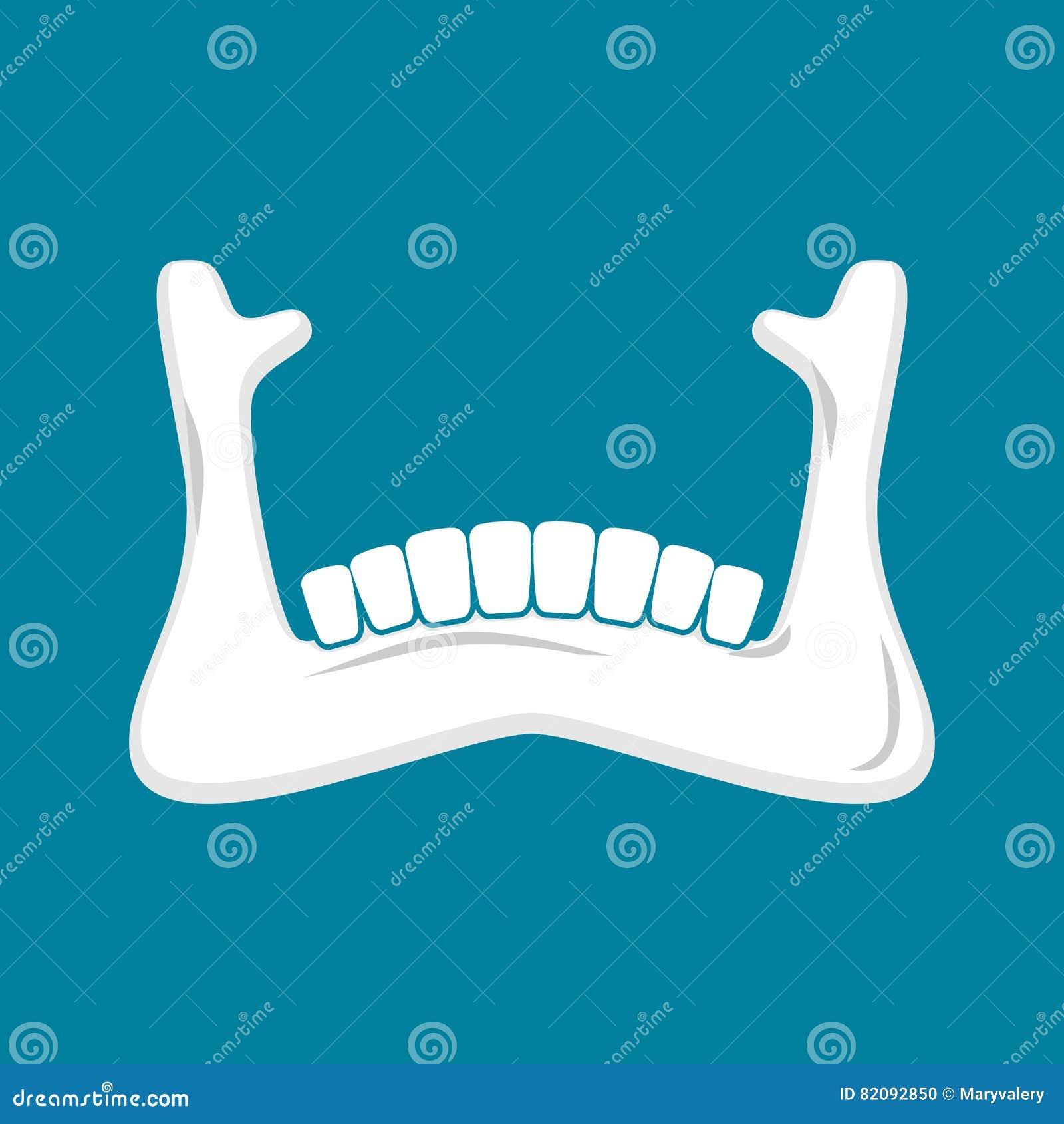 Mandible Human Lower Jaw Anatomy Of Bone Part Of Sku Stock