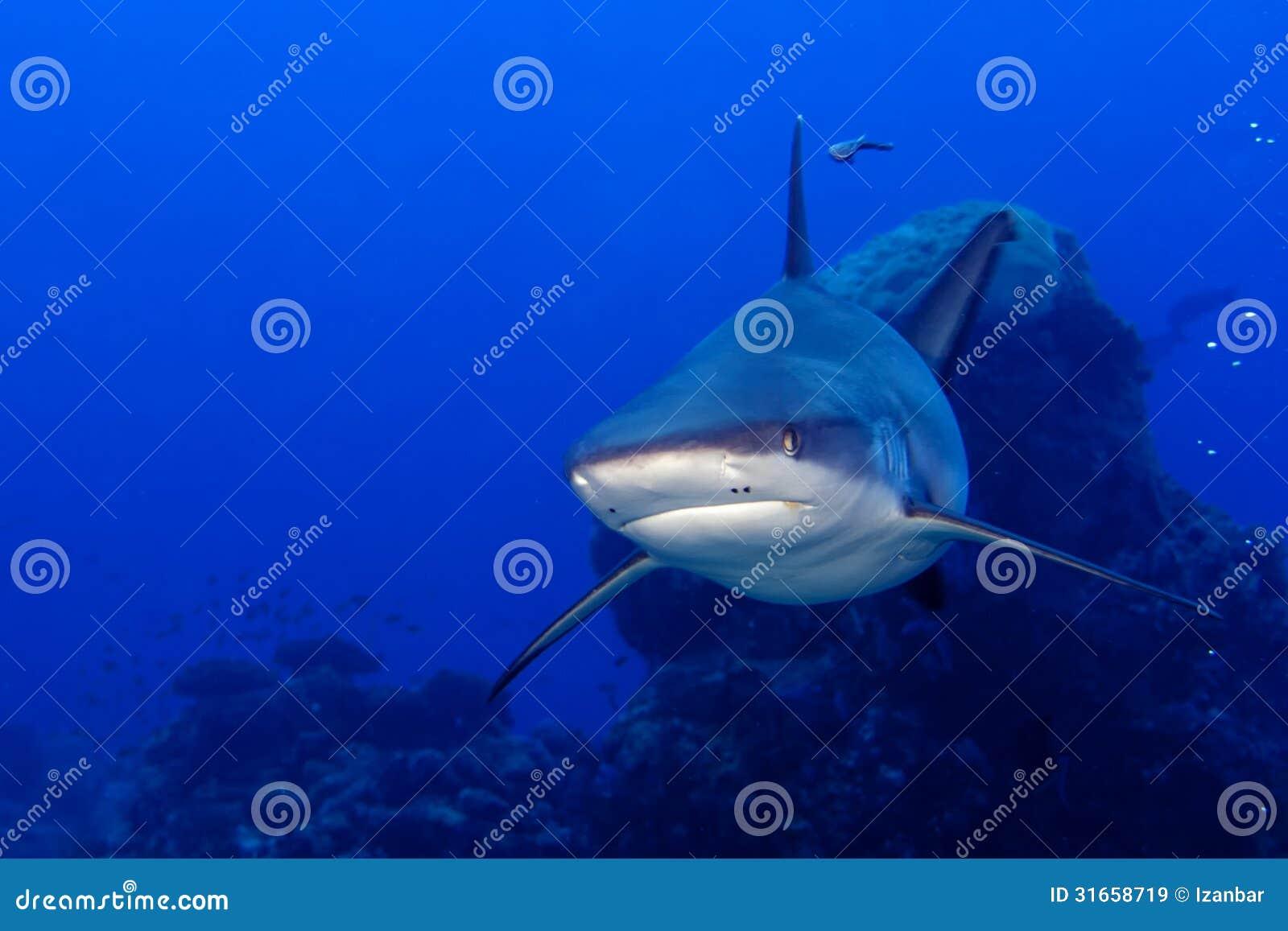 Mandibole di uno squalo di grey pronte ad attaccare il ritratto alto vicino del underwater