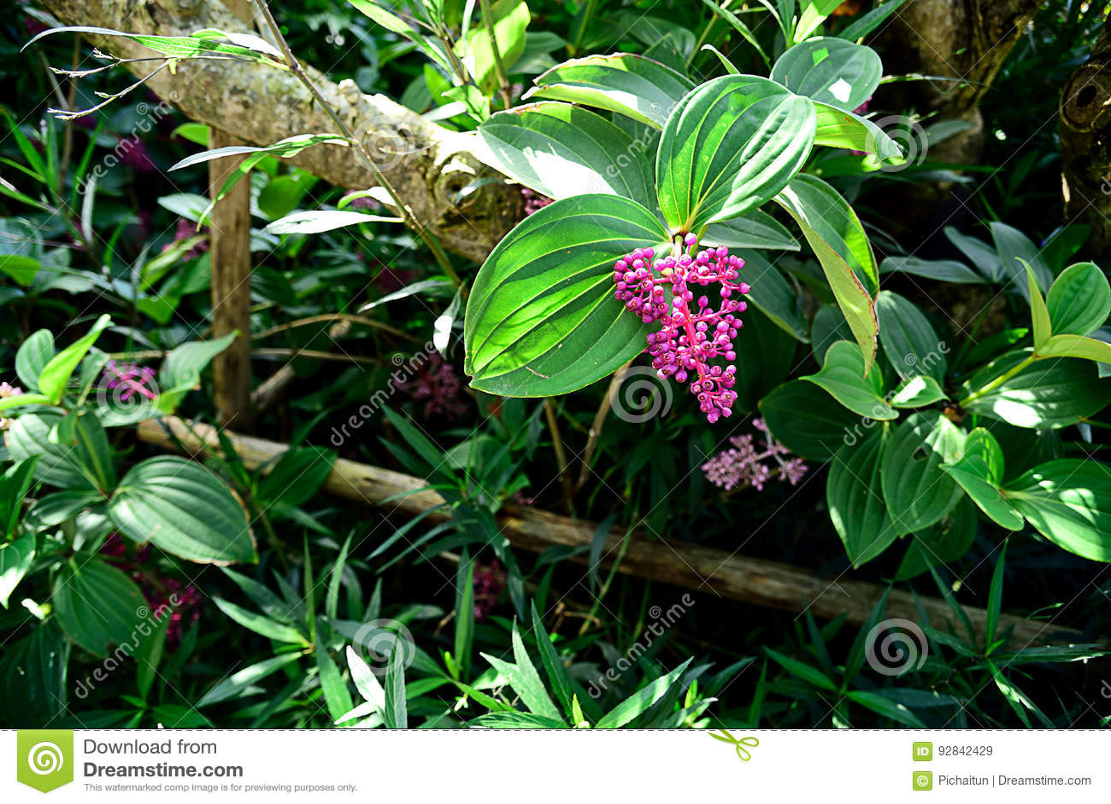 Mandinella stock image image of evergreen ornamental 92842429 image of evergreen ornamental 92842429 mightylinksfo