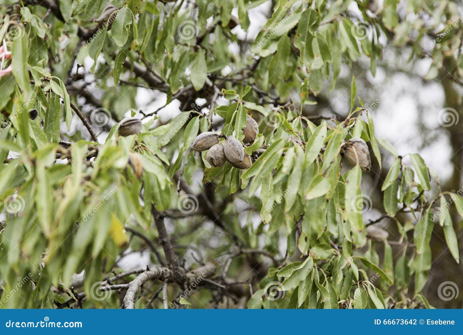 Mandlar på ett träd