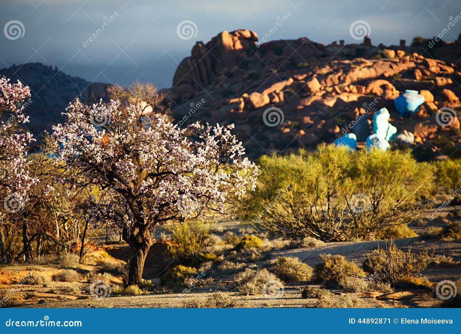 Mandorla di fioritura in Tafraout, Marocco
