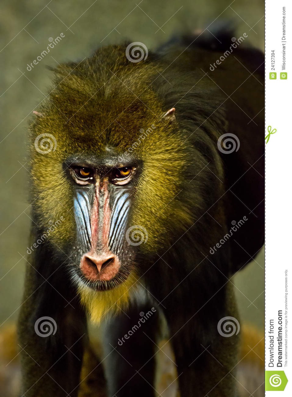 ... is a live mammal that resides in a zoo. Part of the baboon family