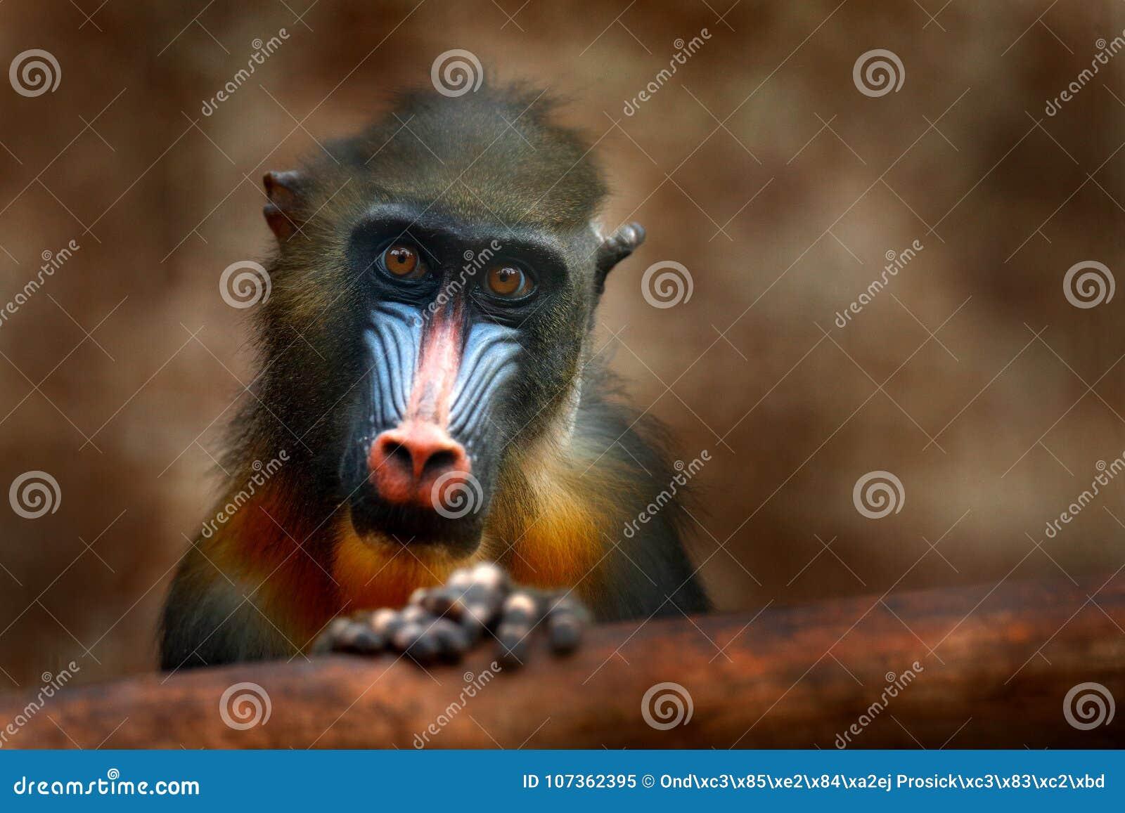 Mandrill, sphinx de Mandrillus, singe de primat, se reposant sur la branche d arbre chez l animal tropical foncé de forêt dans l